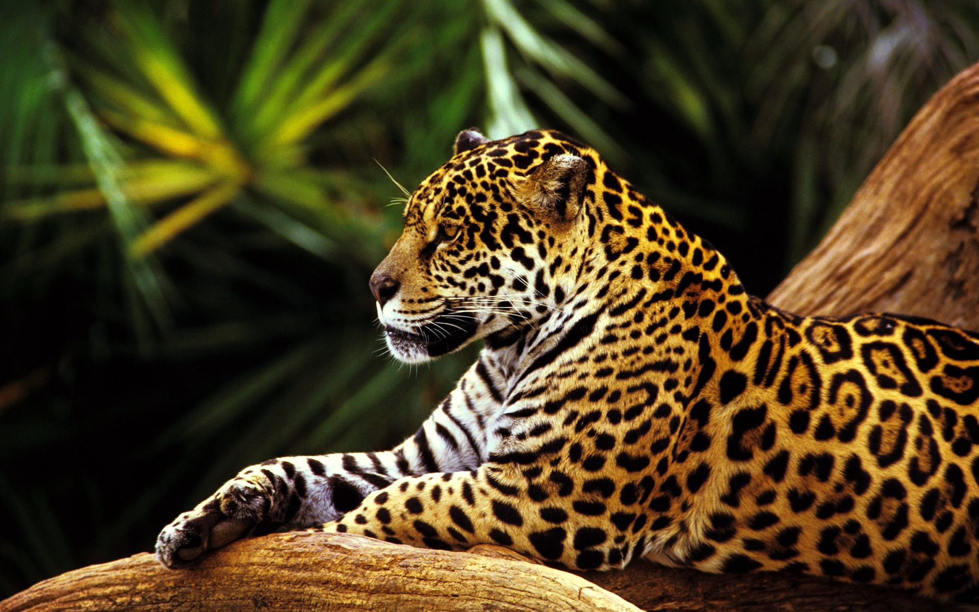 Jaguar Animal Hd Wallpaper Pc Iwalldesk
