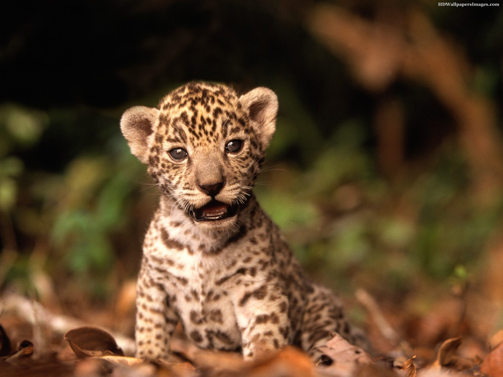 Baby Jaguar Images Pictures Photos Hd Wallpapers