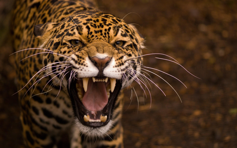 Jaguar- Photo#02