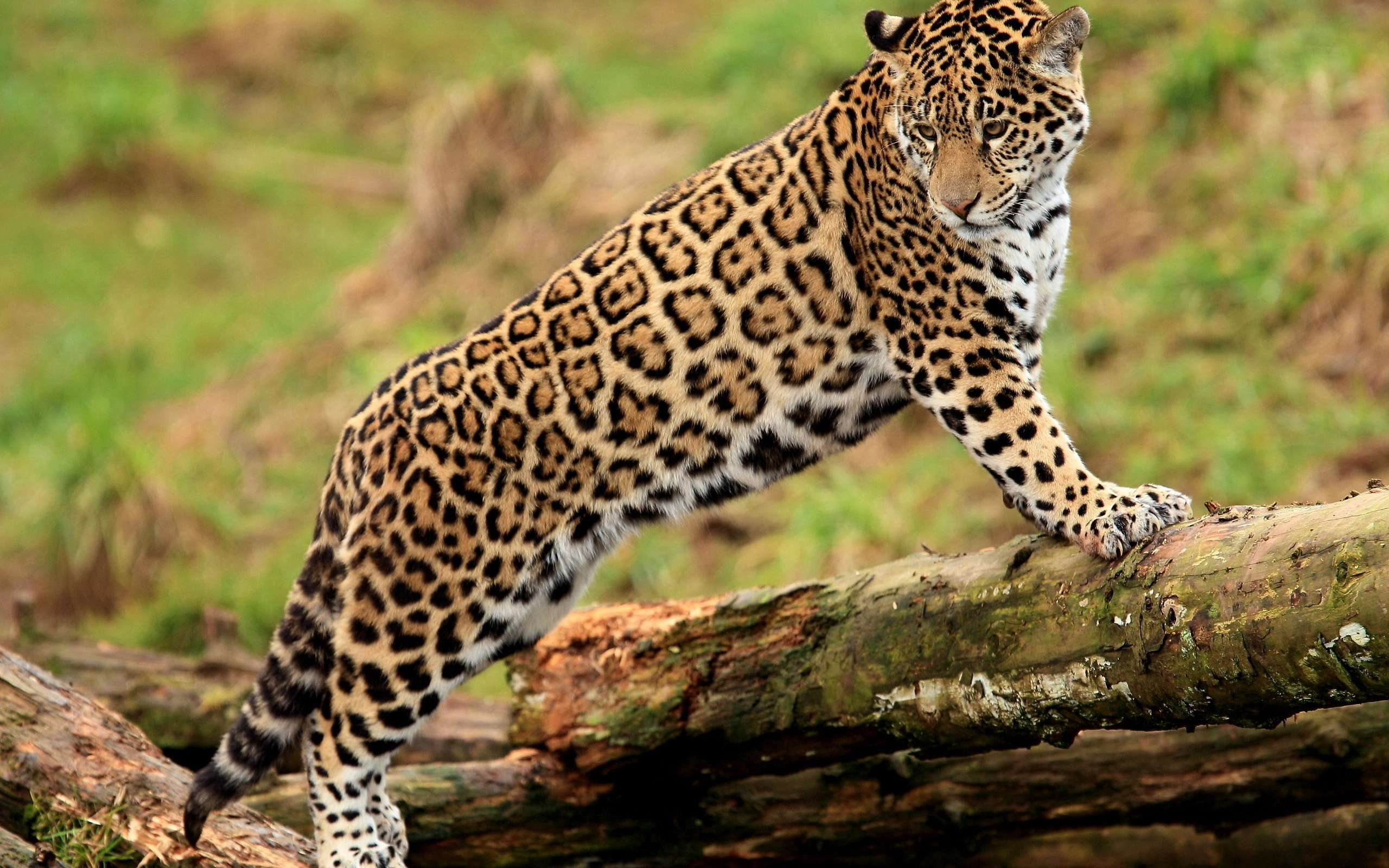Jaguar Wallpaper