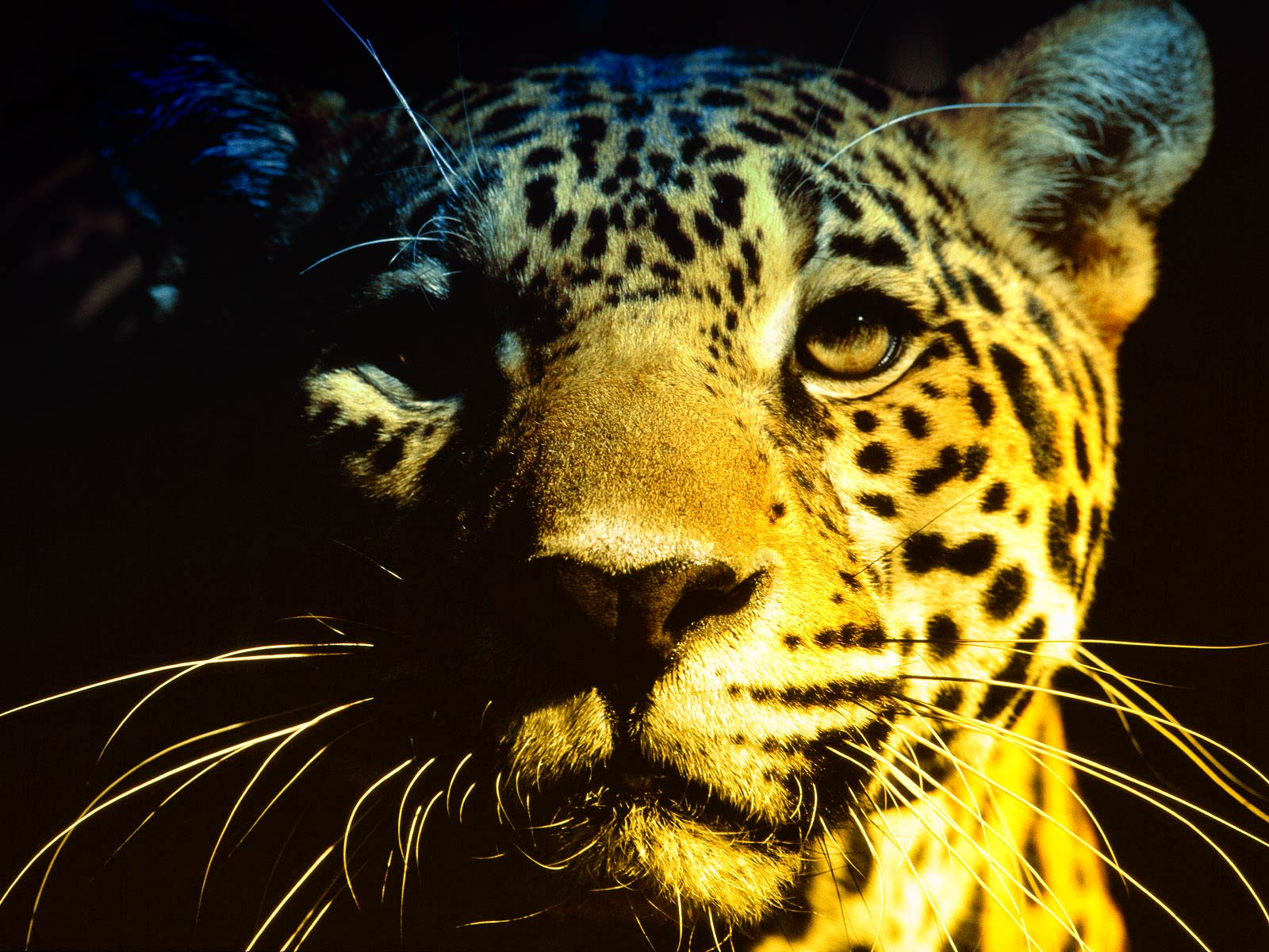 Jaguar Background