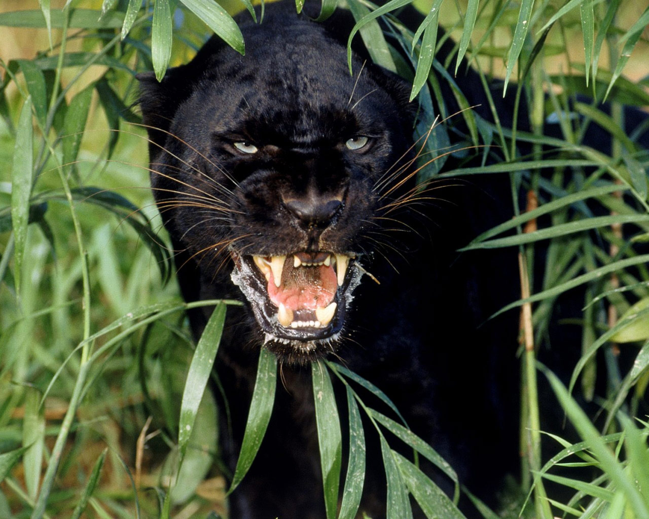 Desktop Wallpaper · Gallery · Animals Black Panther A melanistic jaguar