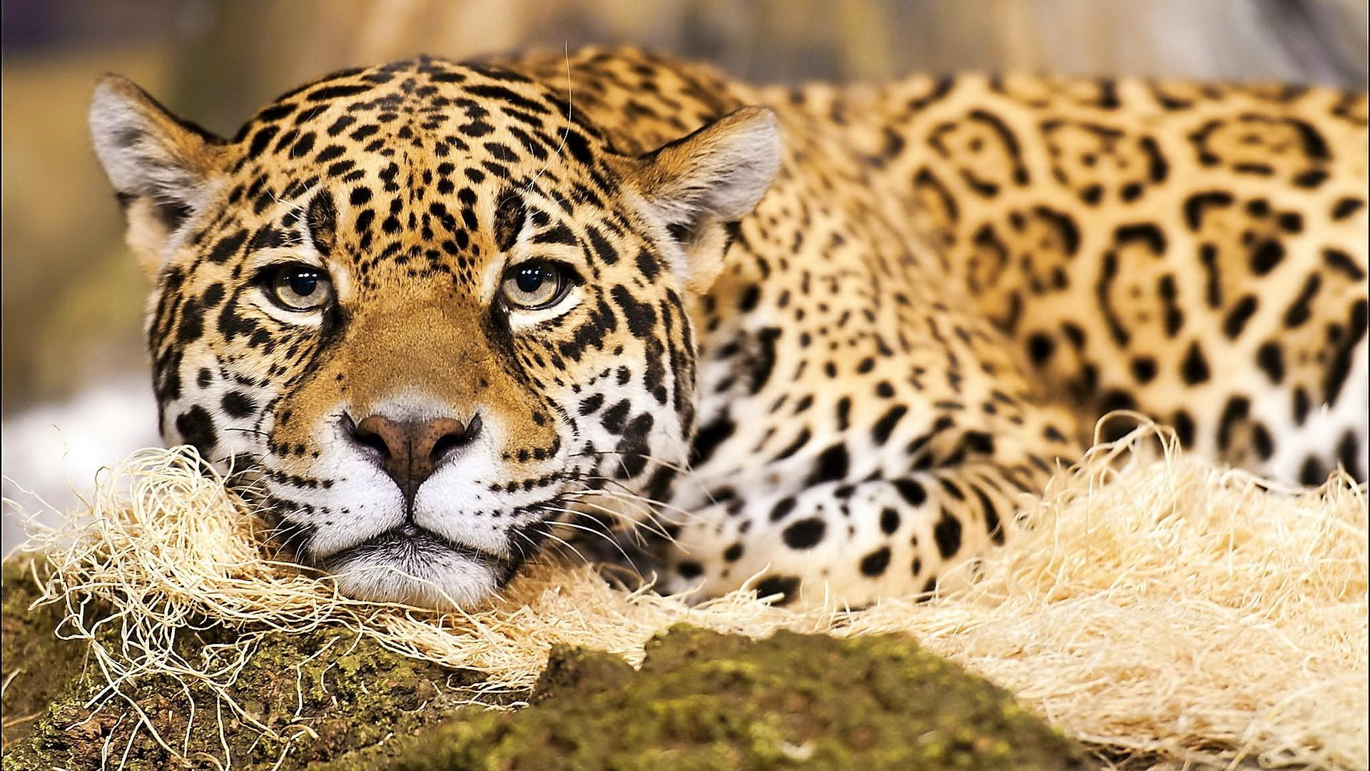 Jaguar The Big Cat Wallpaper Px Free Download 1920x1080px