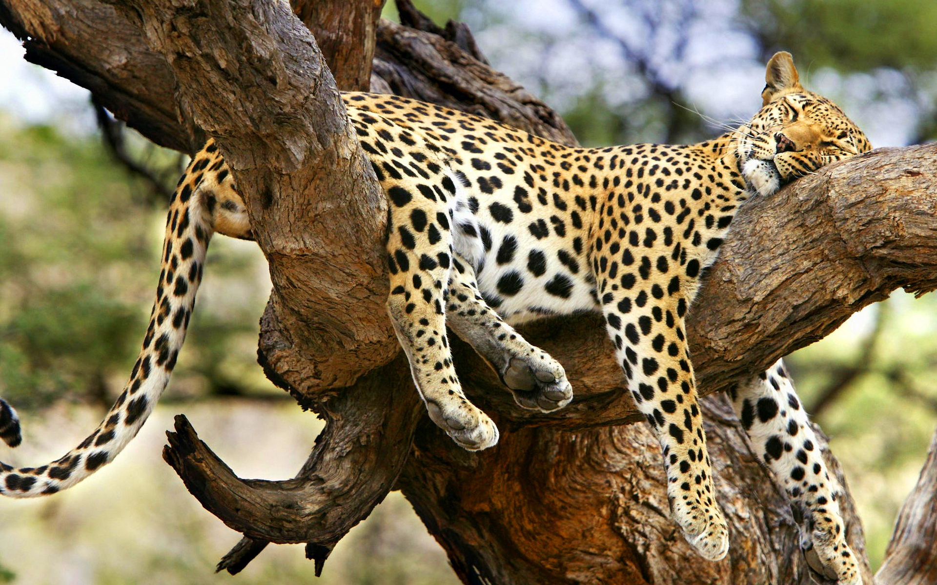 Jaguar sleeping tree