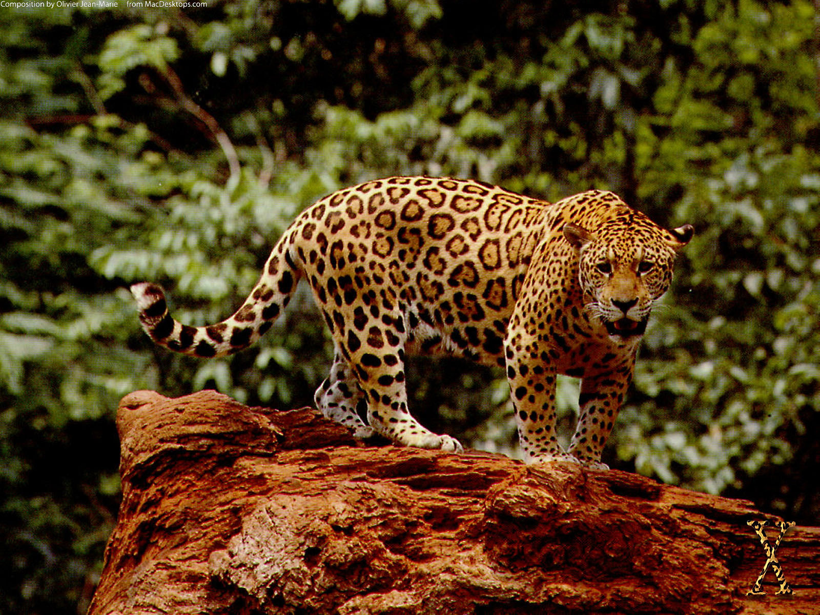 Great Jaguar Wallpaper