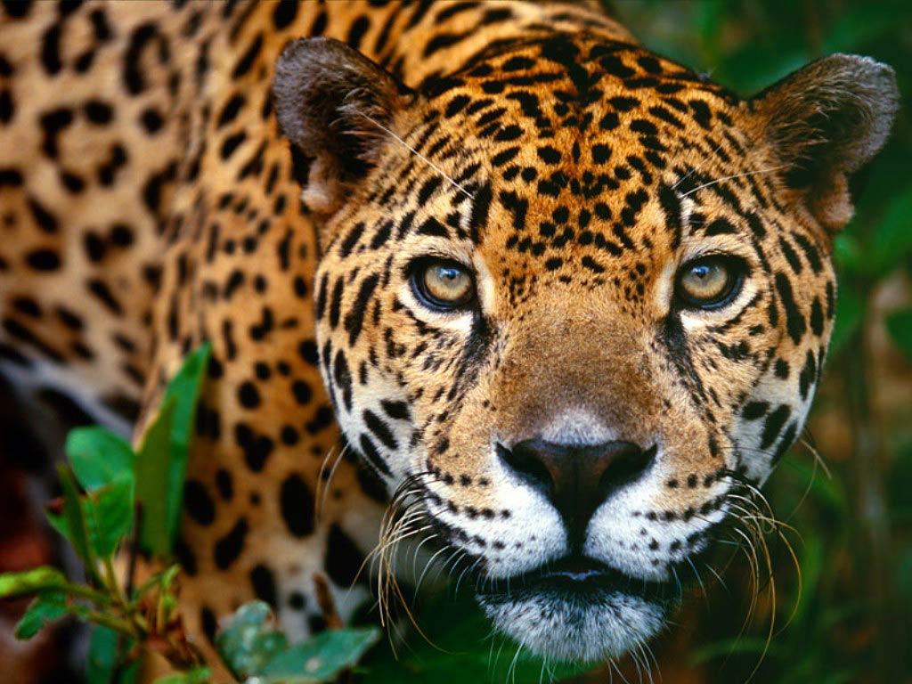 free Jaguar wallpaper wallpapers download