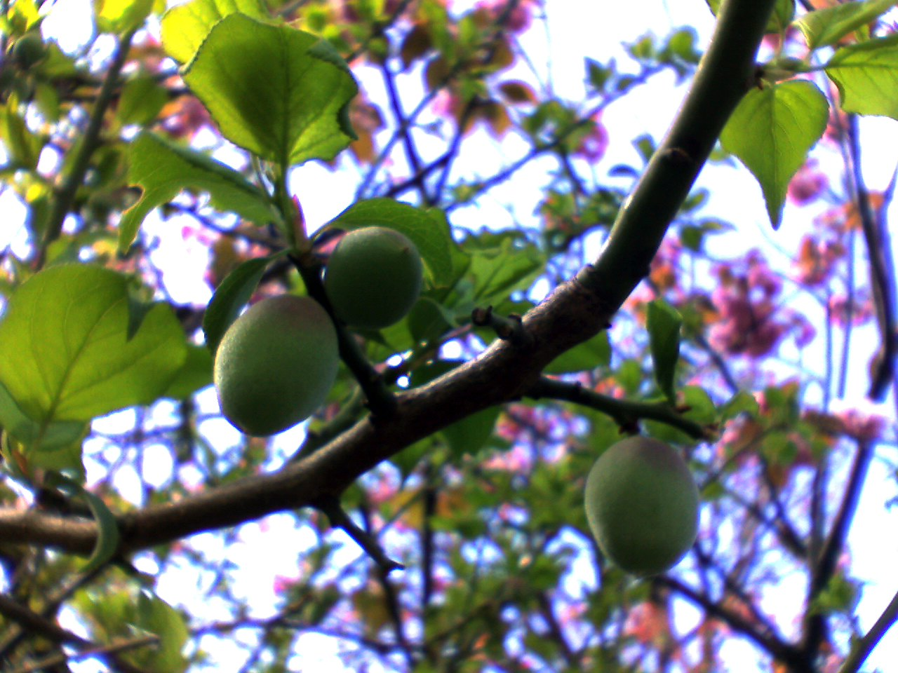 File:Japanese apricot-Fruit.jpg