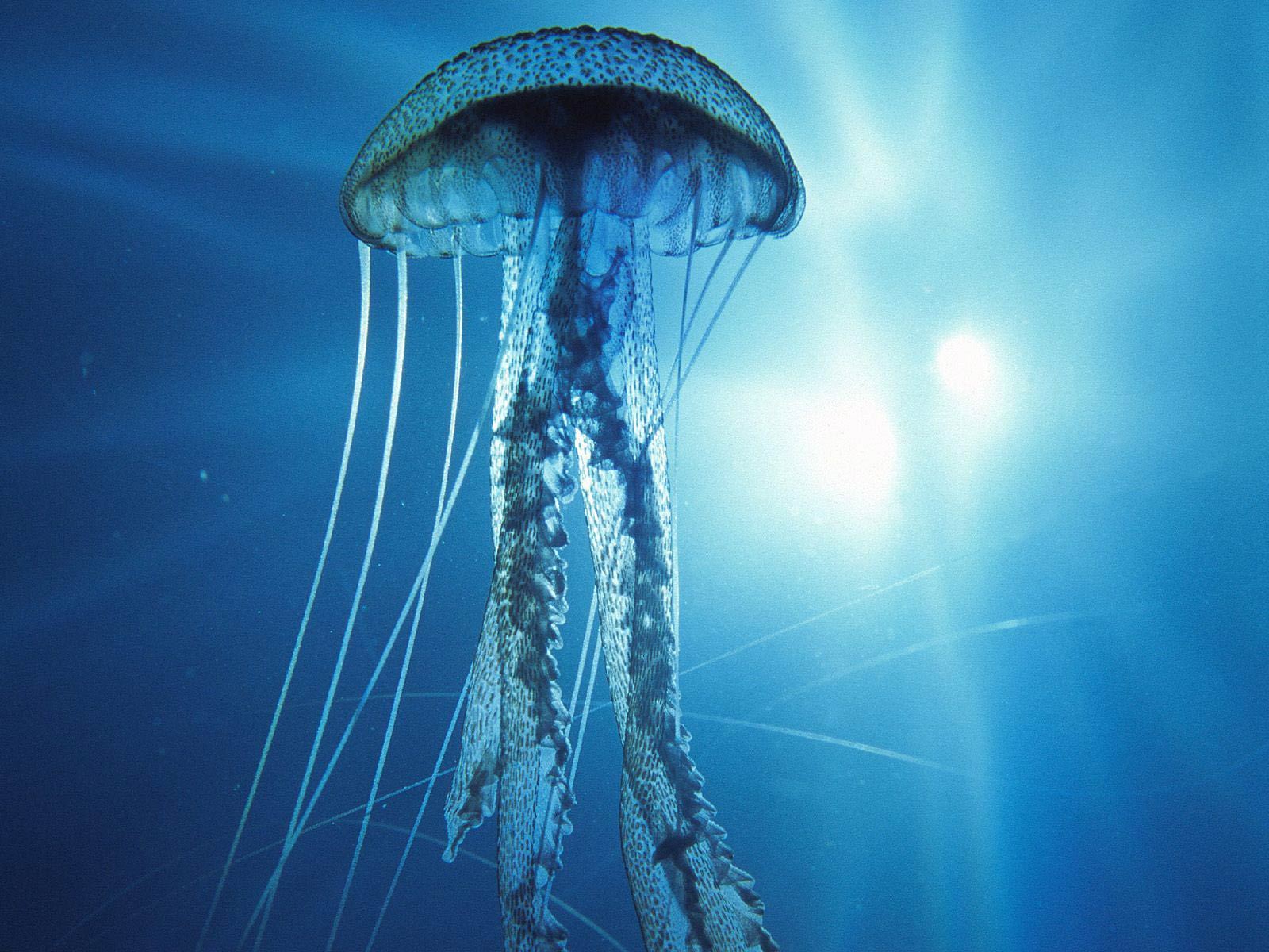 free Jellyfish wallpaper wallpapers download
