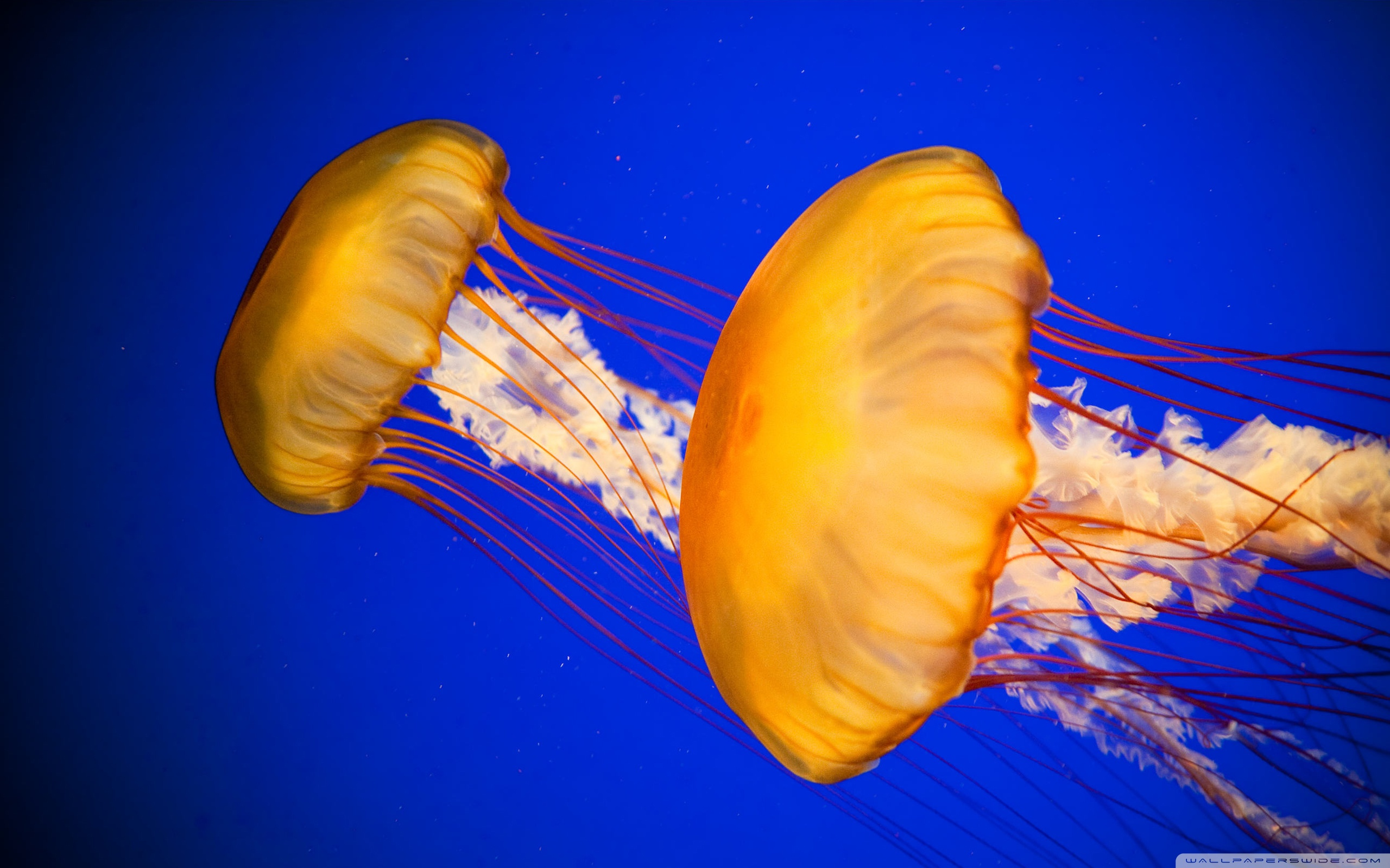 Jellyfish Wallpaper