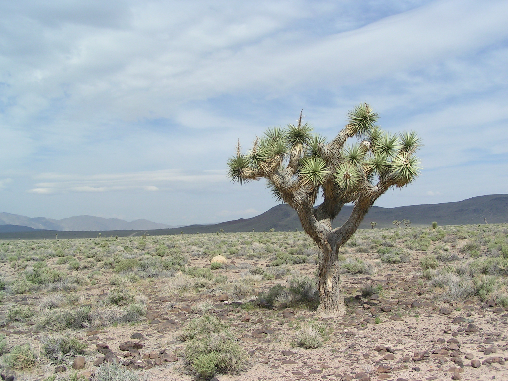 File:Joshua Tree 2004.JPG