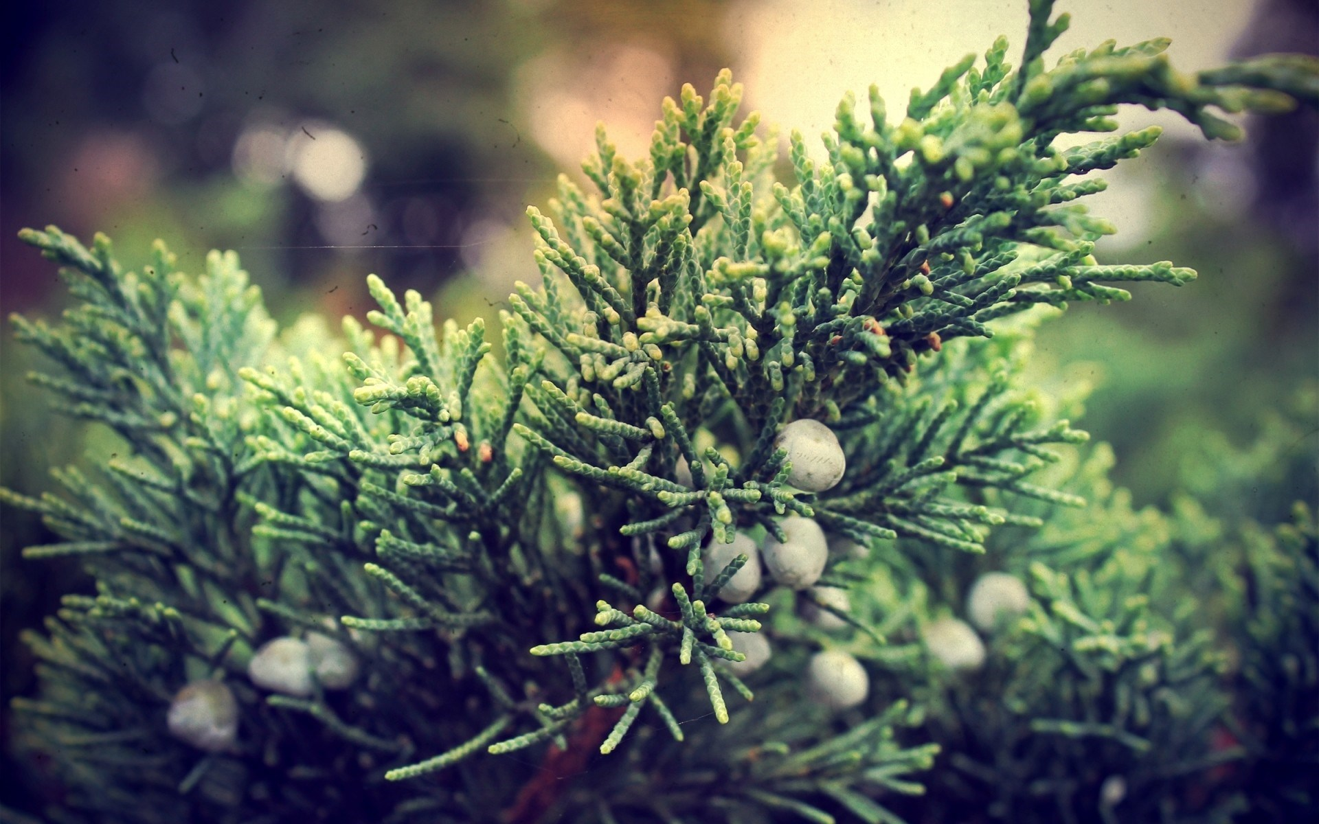 Juniper Berries Branches Nature