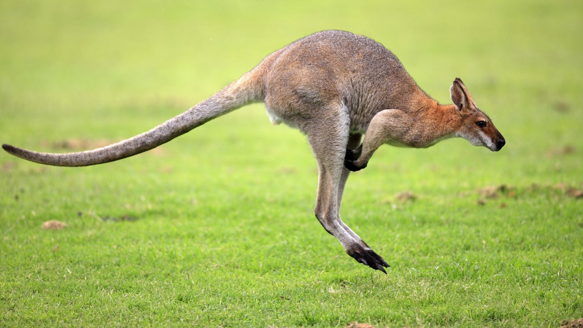 Kangaroo- Photo#03