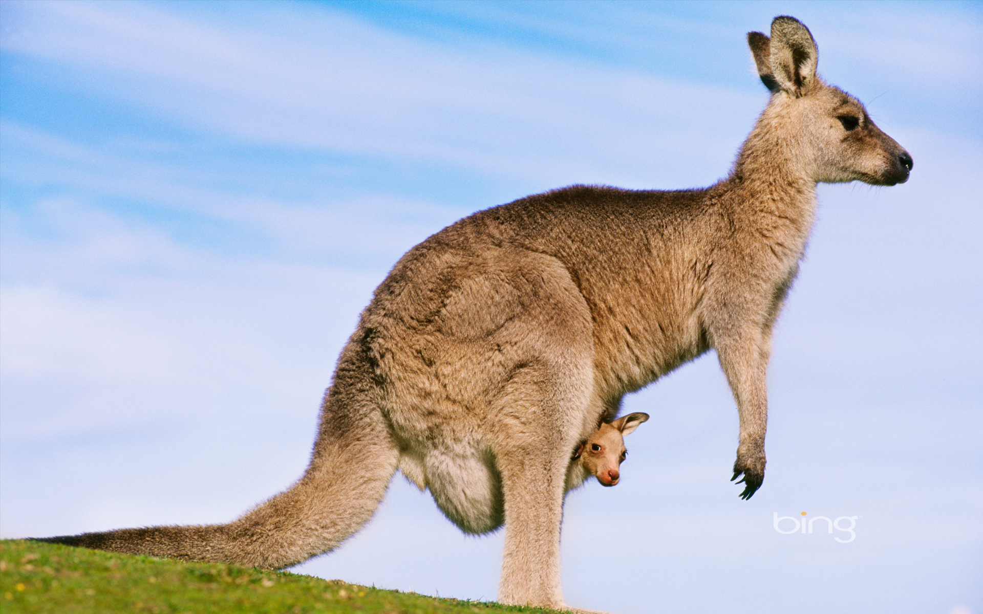 Kangaroo Kangaroo australia wallpaper