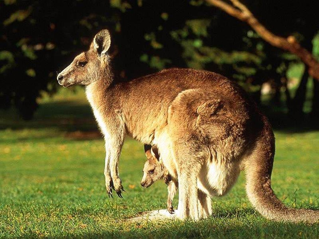 The world's largest marsupial is the red kangaroo. They live in groups, called mobs, in the Australian deserts and open grasslands.