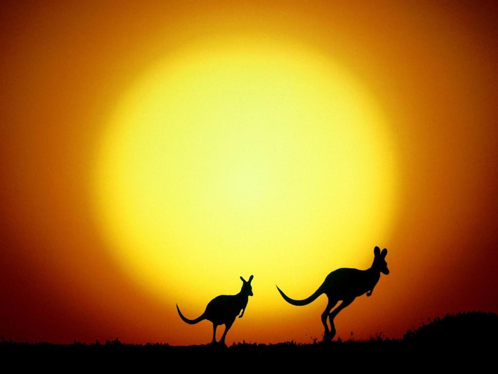 Kangaroo Wallpaper 14