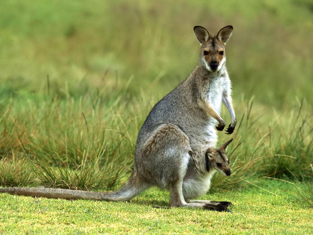 Kangaroo Cover Baby Wallpaper