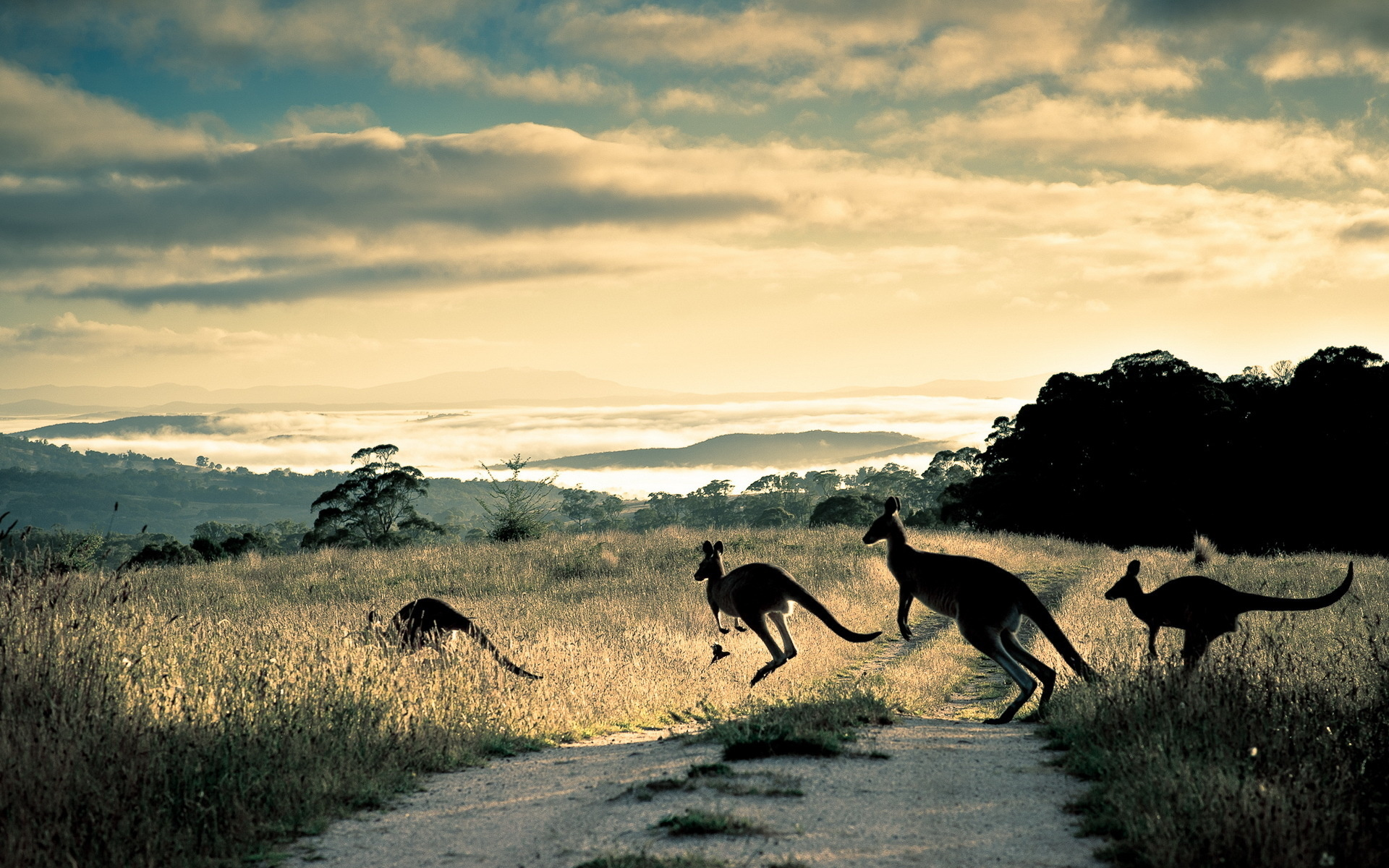 Kangaroo Wallpaper 8979
