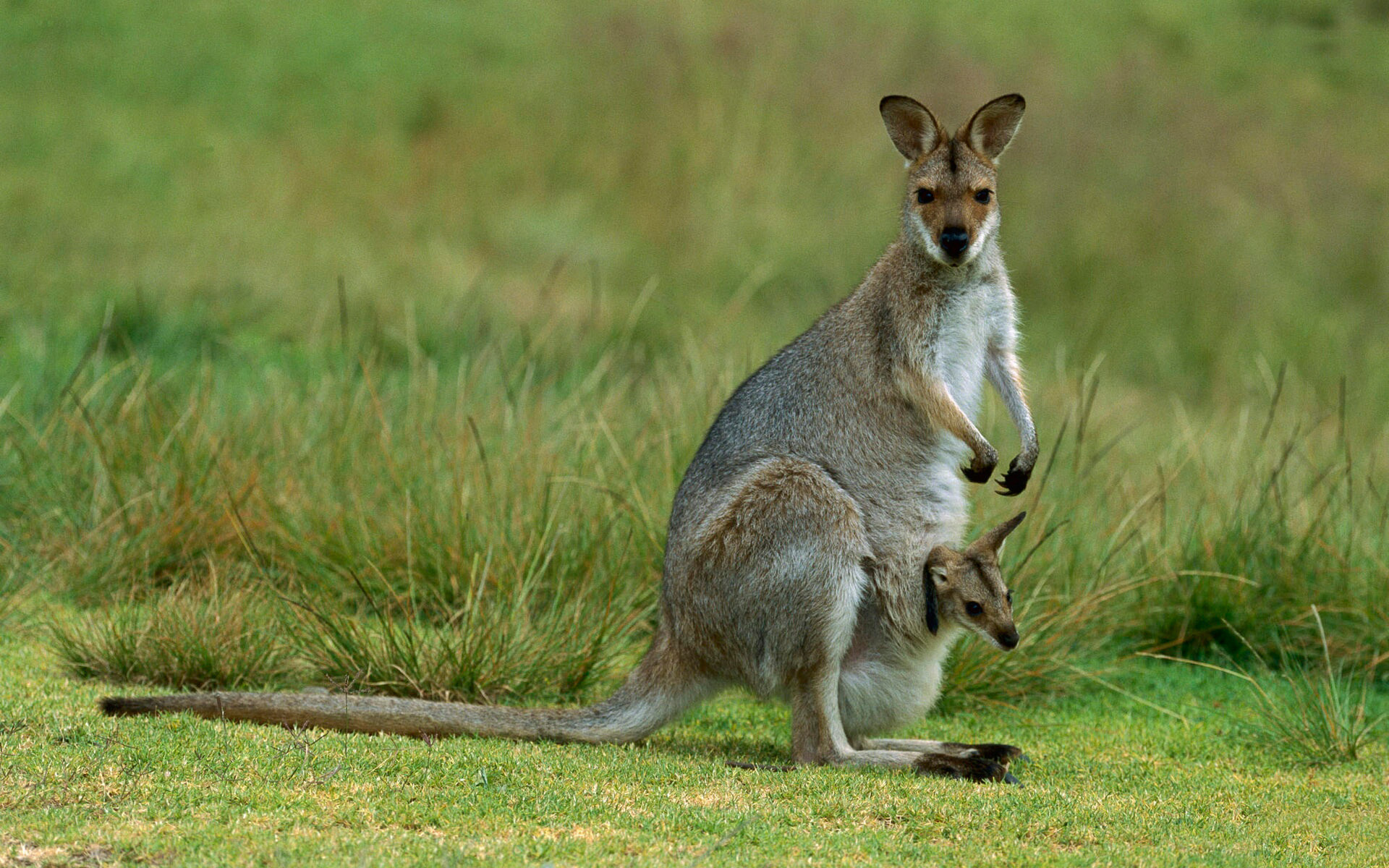 Kangaroo Wallpaper 9