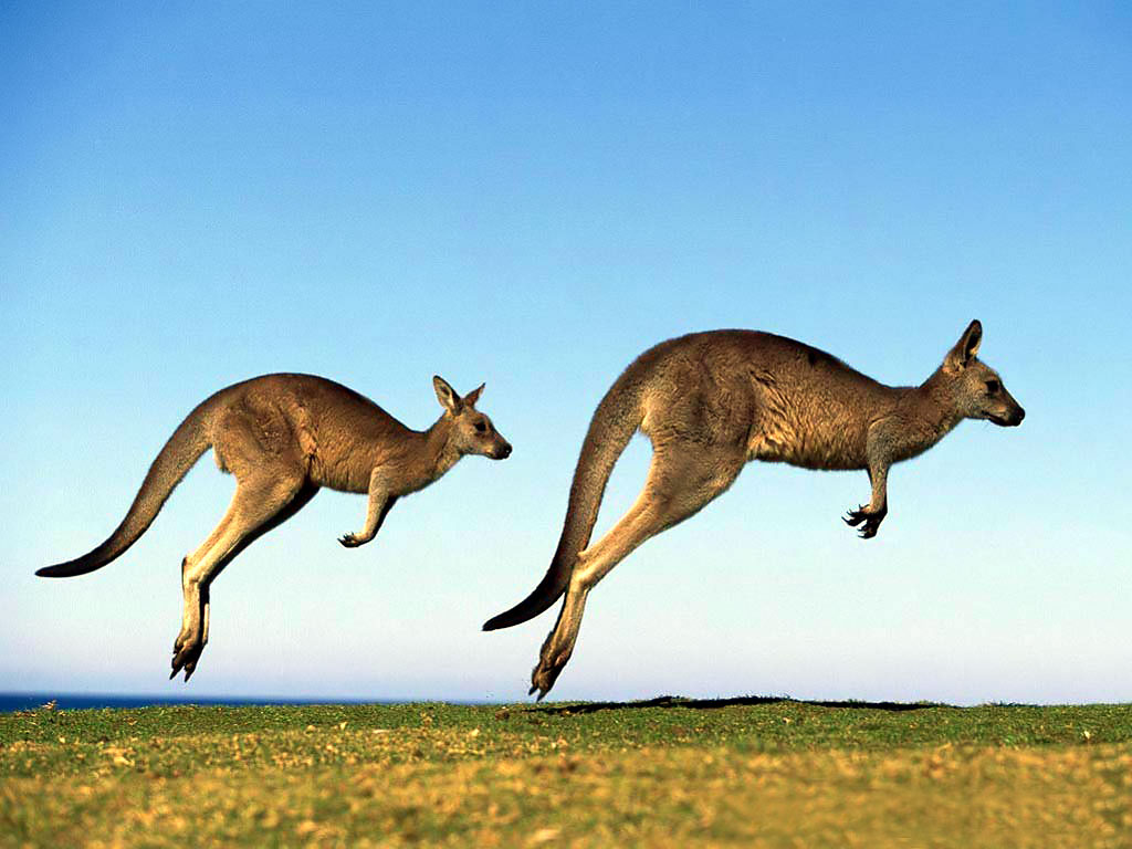Kangaroo Wallpaper 8973