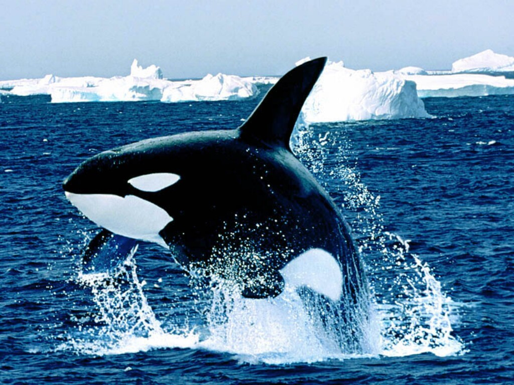 Desktop Wallpaper · Gallery · Animals Emerging Killer Whale