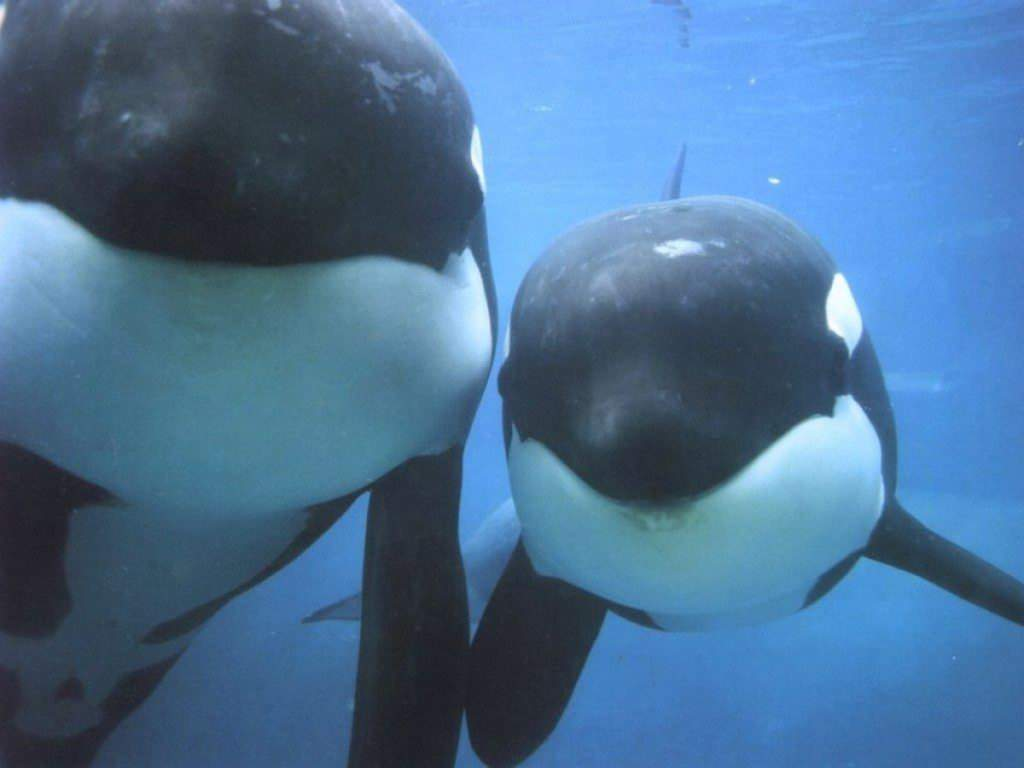 If you wer wondering this is the picture i am using as the background i think this is such a cute picture of the two orca whales together.