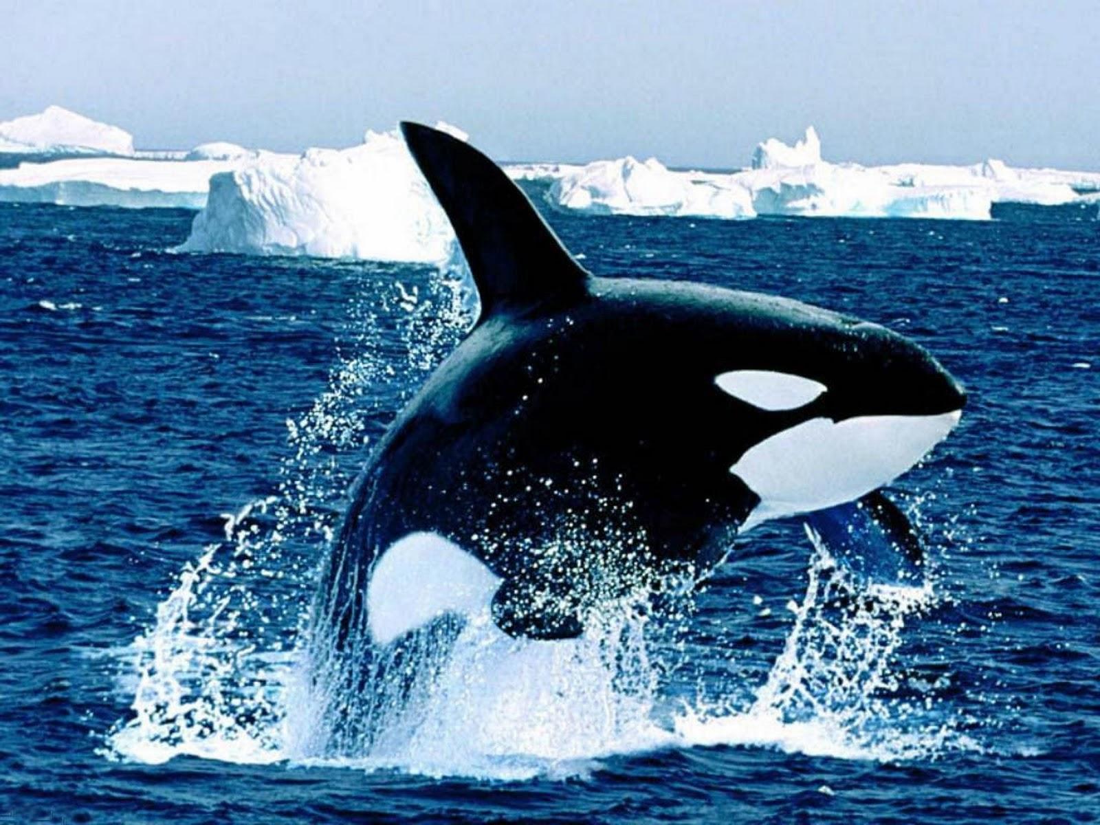 Killer Whales 9134 1600x1200 px