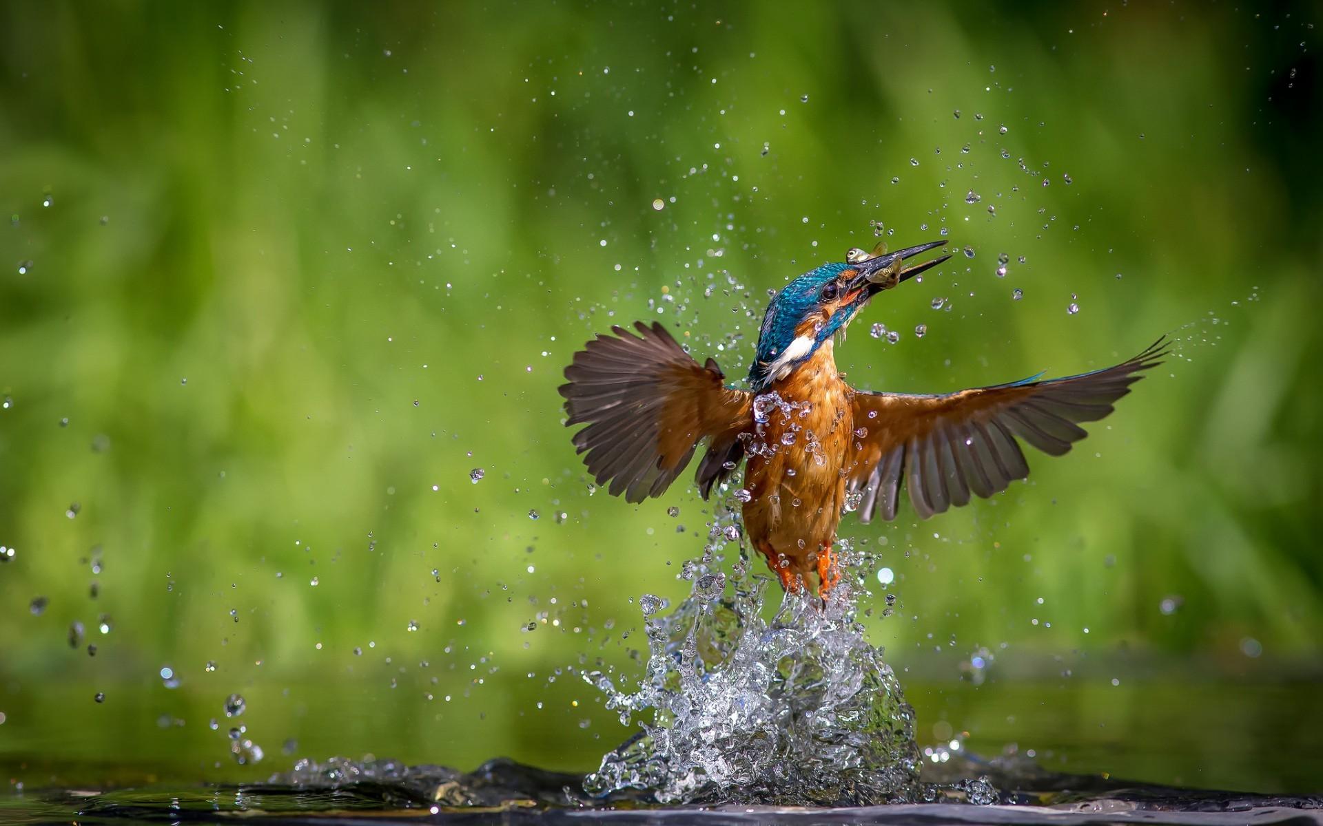 Kingfisher bird 1