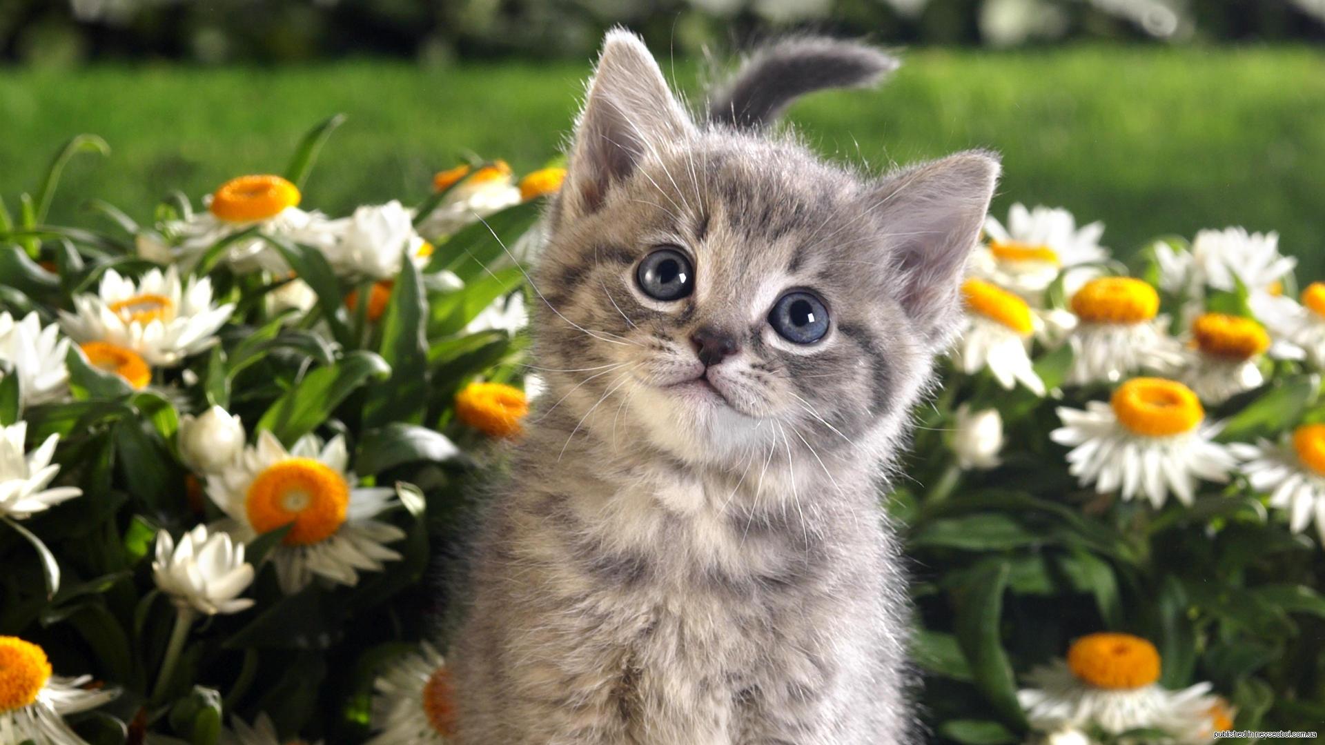 Animals Hdwallpaper Kitten Flowers Wallpaper #80087 - Resolution 1920x1080 px