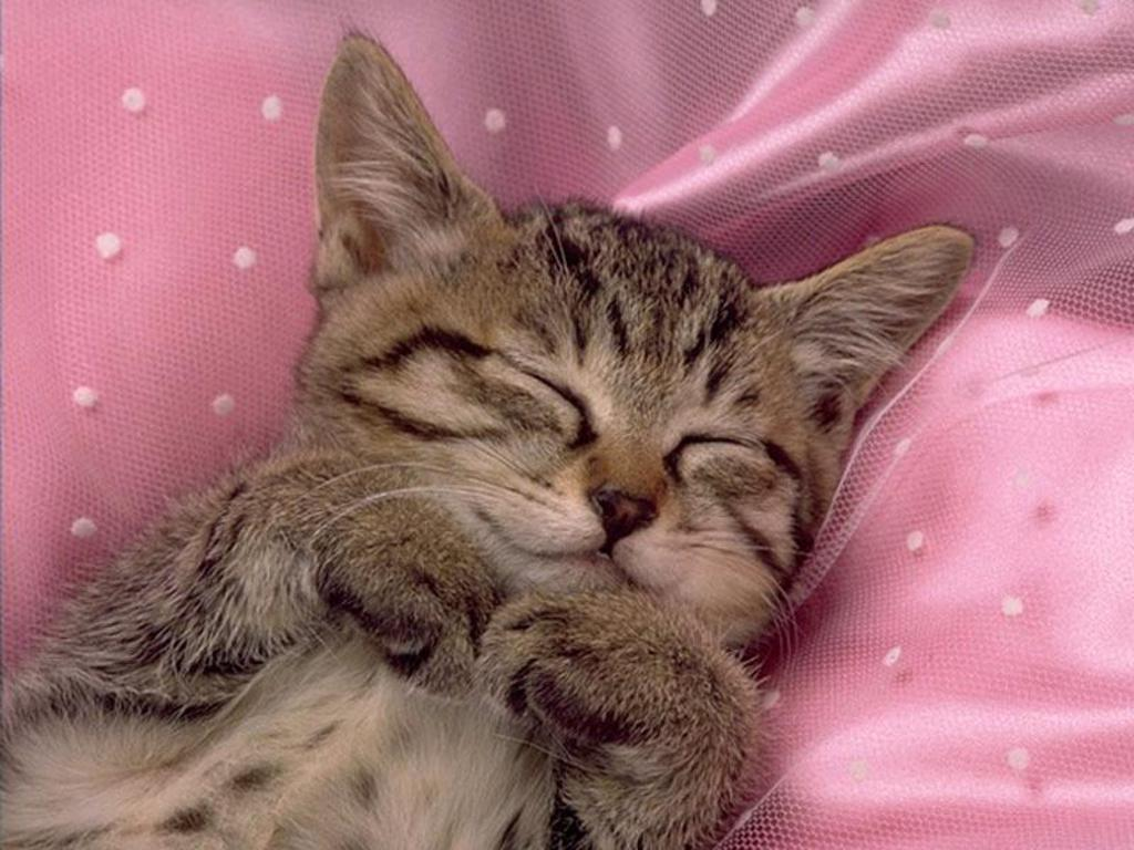 Baby kitten sleeping wallpaper. Baby kitten sle.