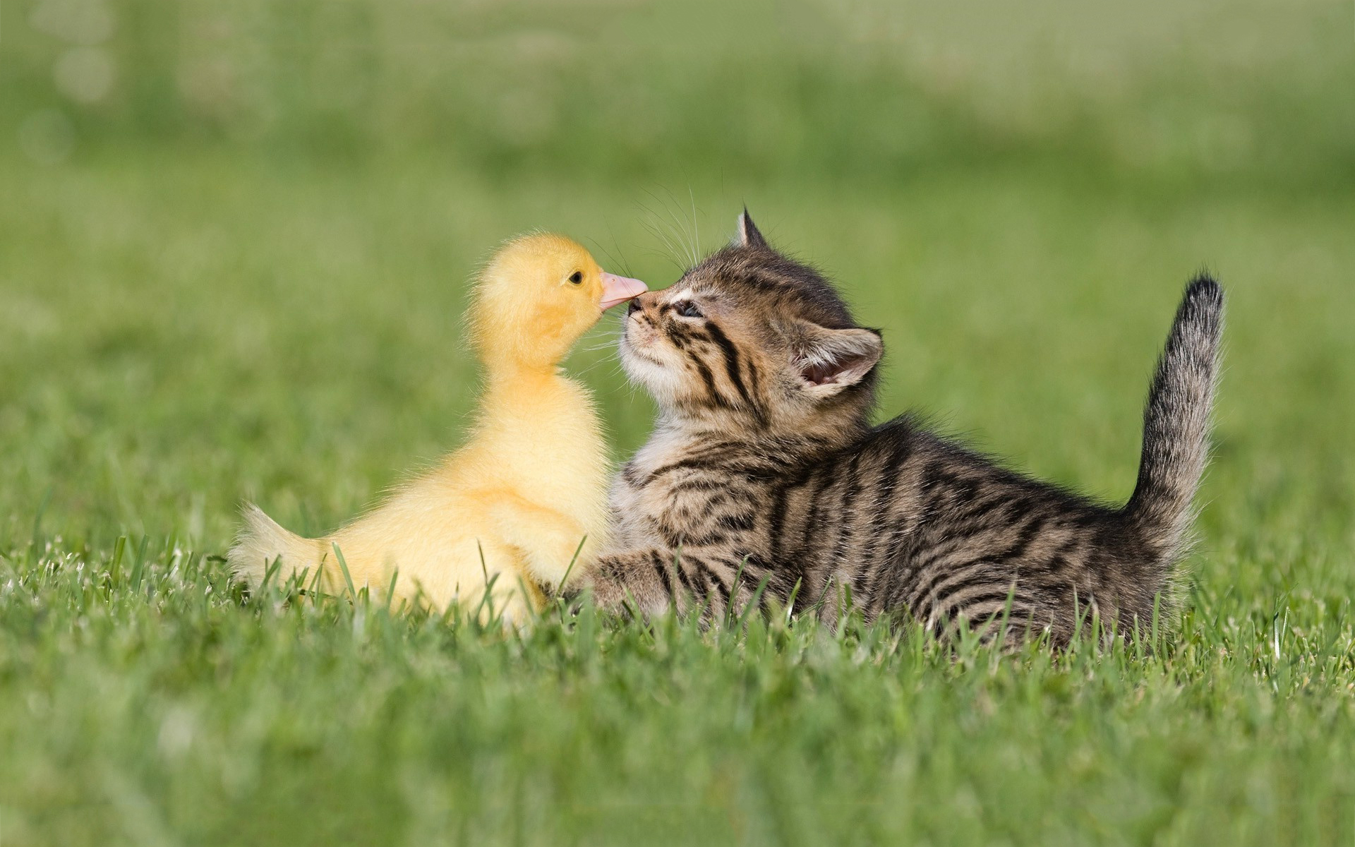 Kitty meets duckling