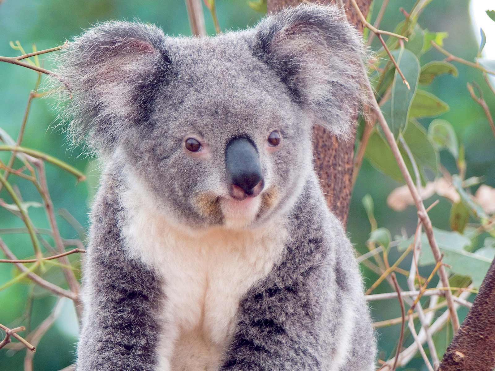 ... cute-little-koala-wallpaper.jpg ...
