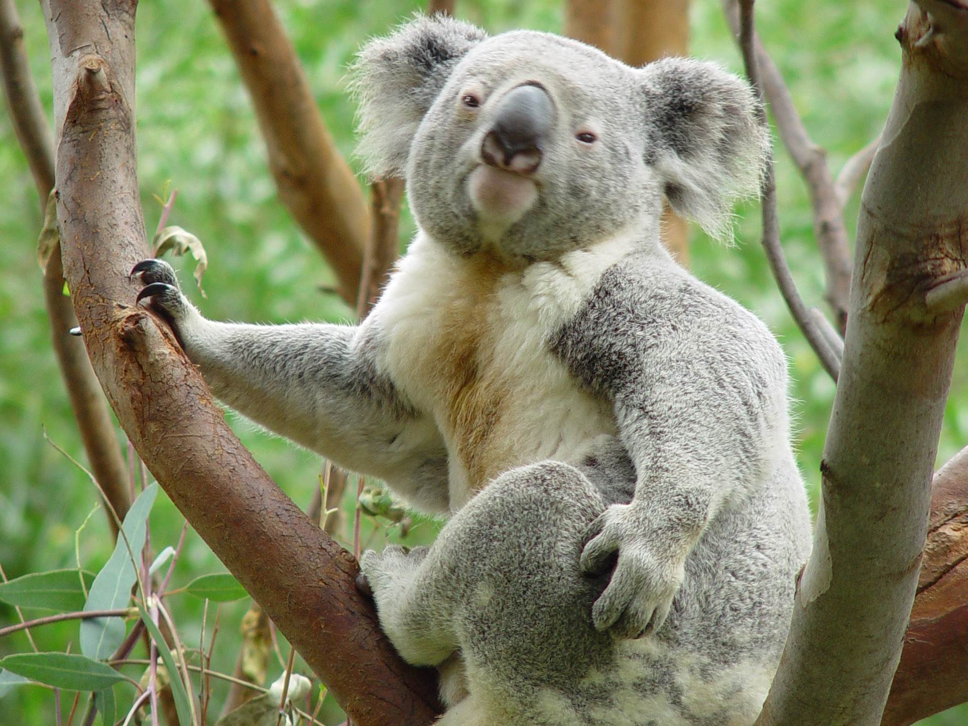 Koala HD Wallpapers9
