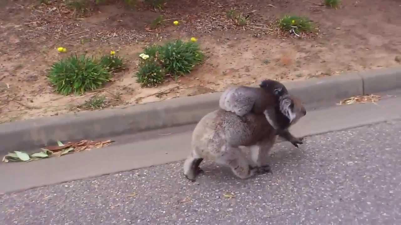 Very Angry Koala - Did you know why aggressive Koala are.