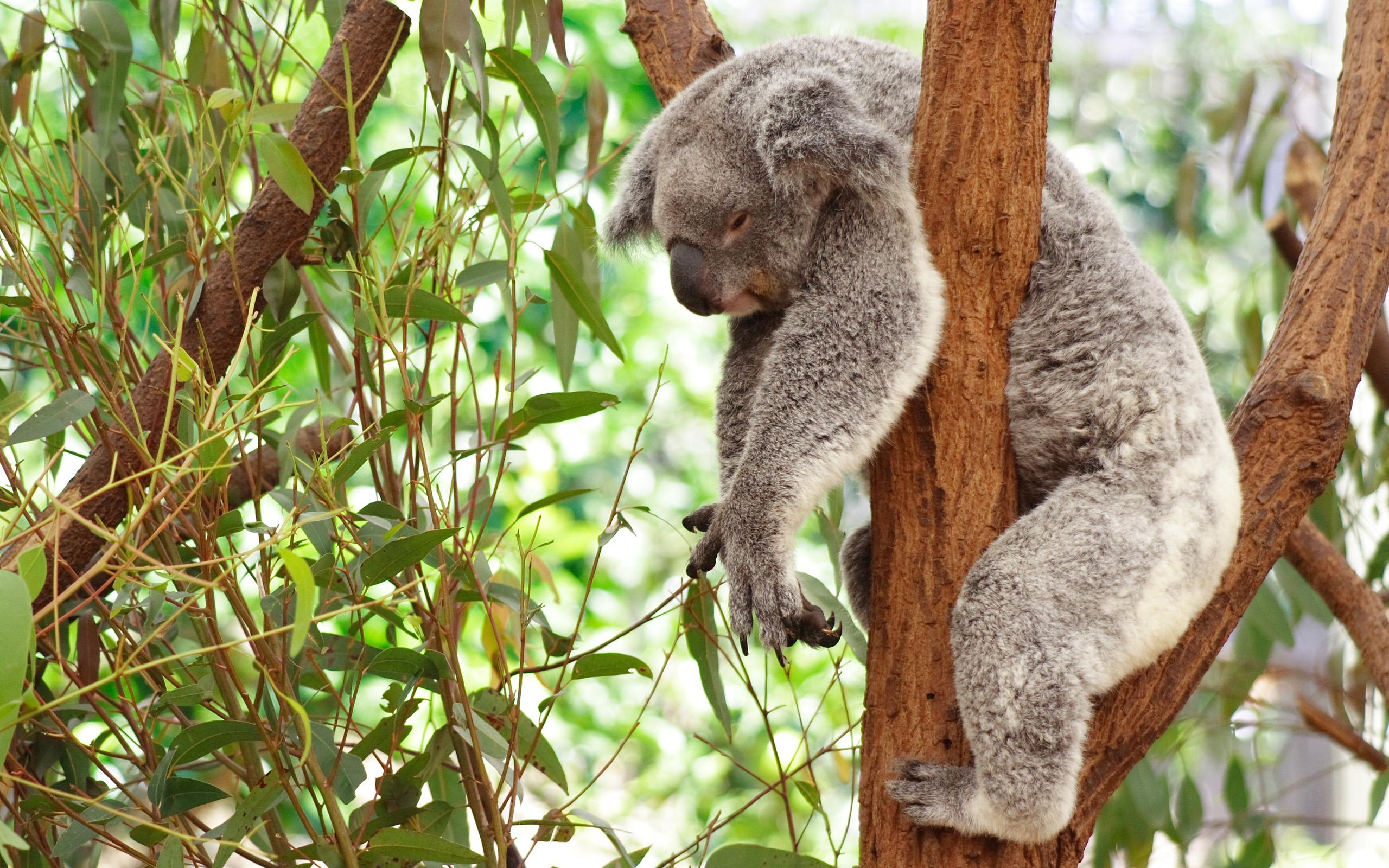 Koala Background