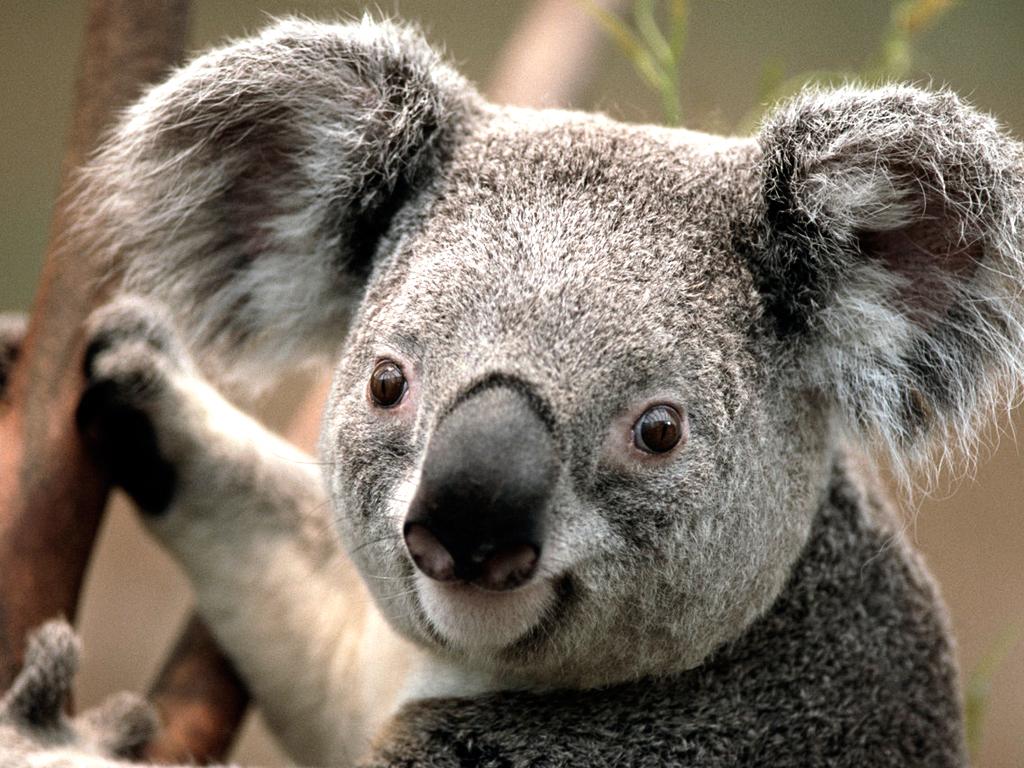 Related Wallpapers: Koala