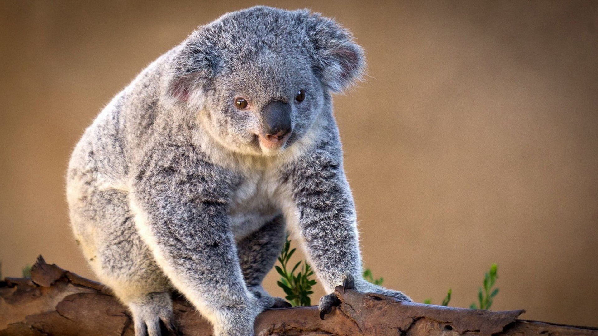 HD Wallpaper | Background ID:344896. 1920x1080 Animal Koala