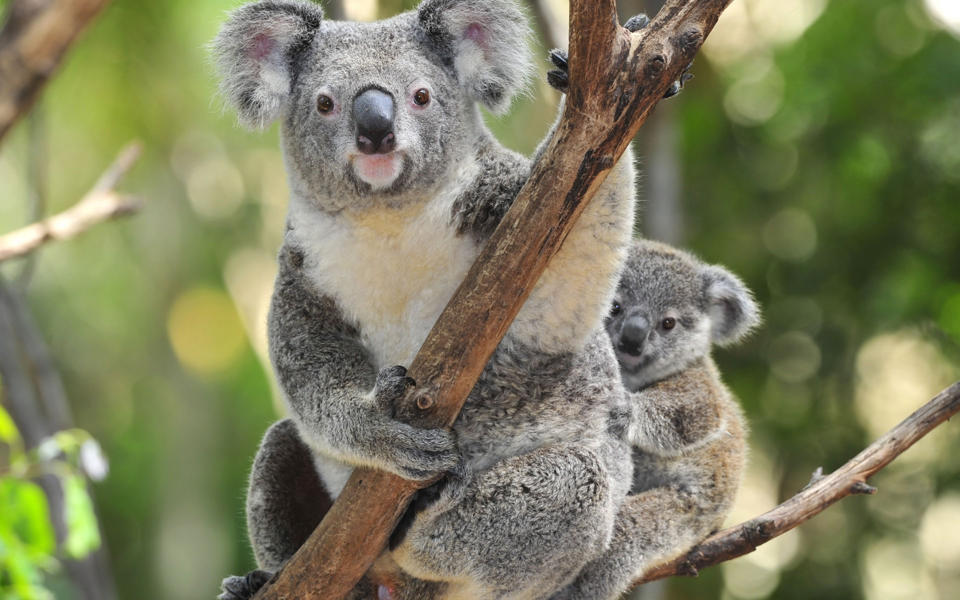 HD Wallpaper | Background ID:398787. 1920x1200 Animal Koala