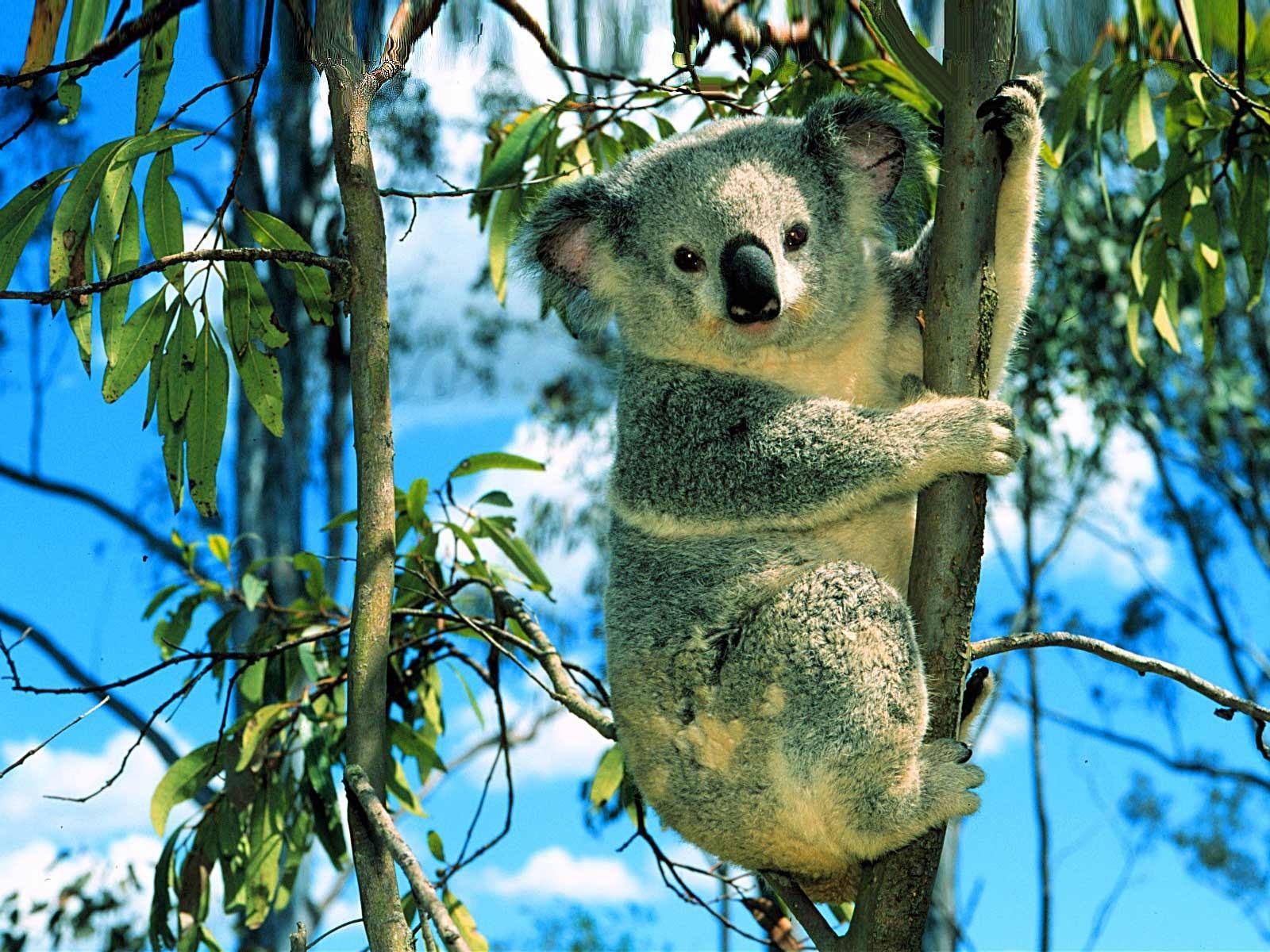 cute-koala-bear-animals-wallpapers ...