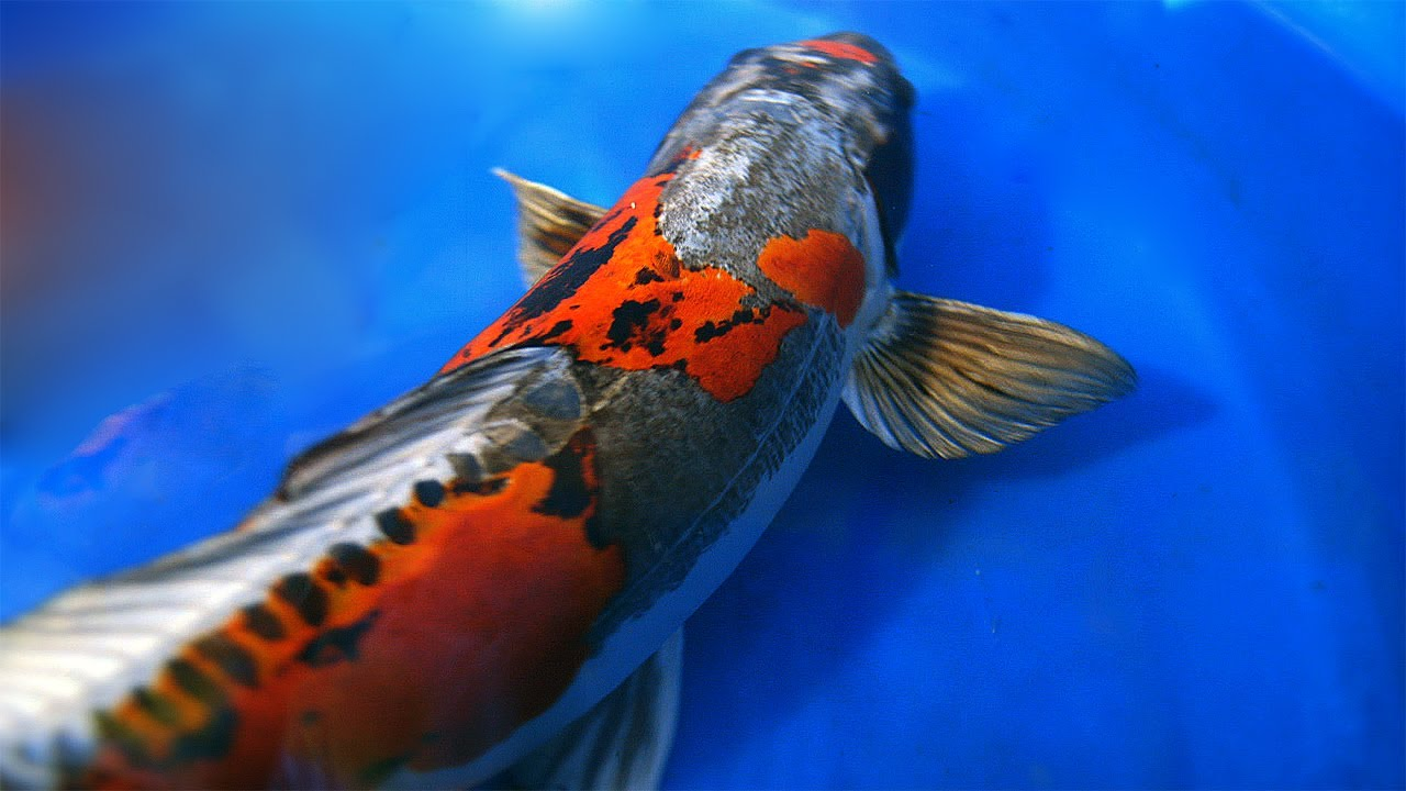 Koi fish wallpaper 1280x720 46367 for Koi fish size