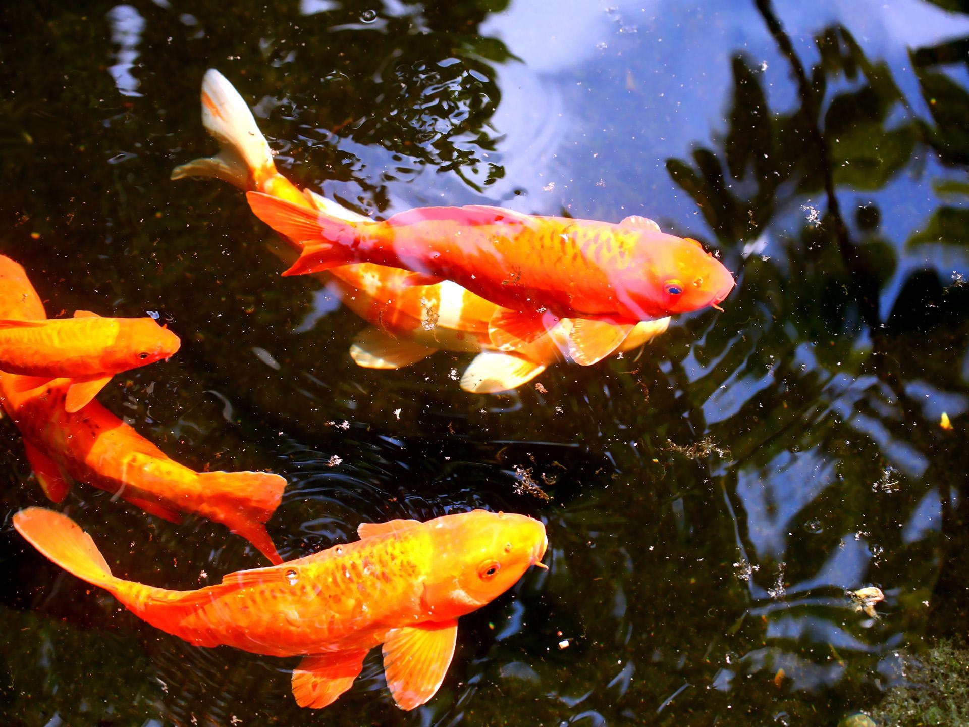 Koi Fish Yellow