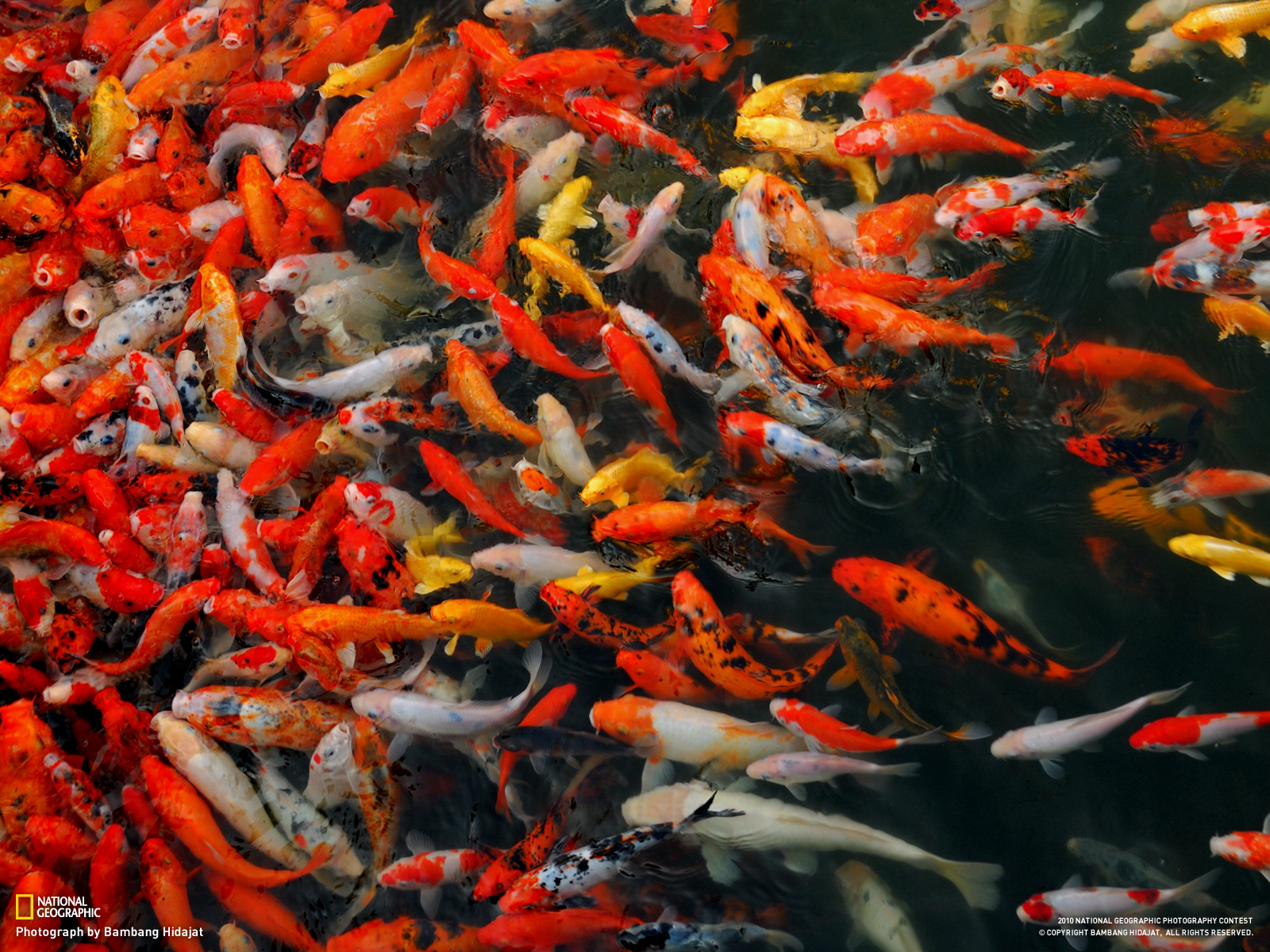 This photo is from 2010 National Geographic Photography Contest Wallpaper - Week 9. photo: koi fish ...