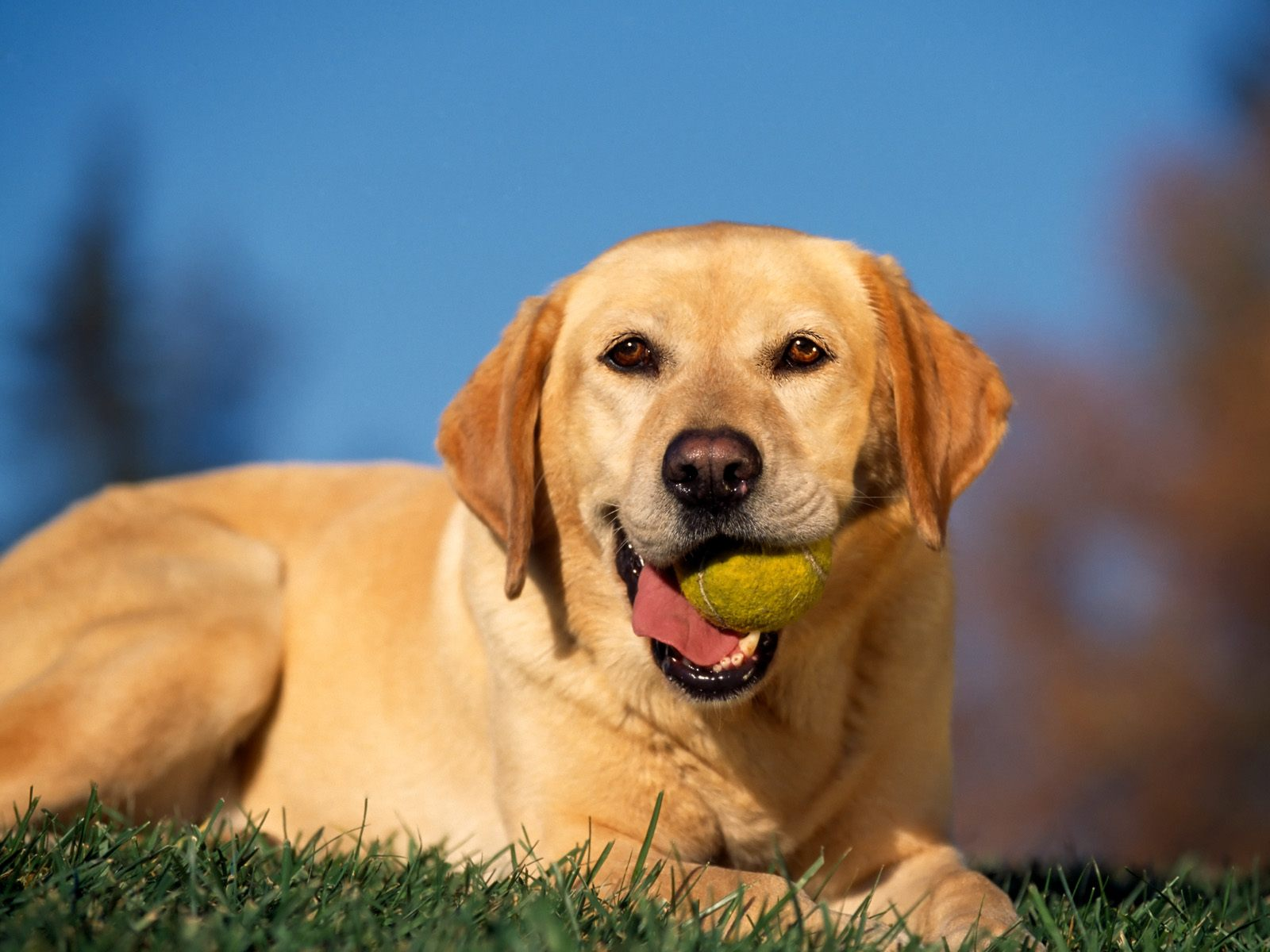 Labrador Images Hd Background Wallpaper 26 Thumb
