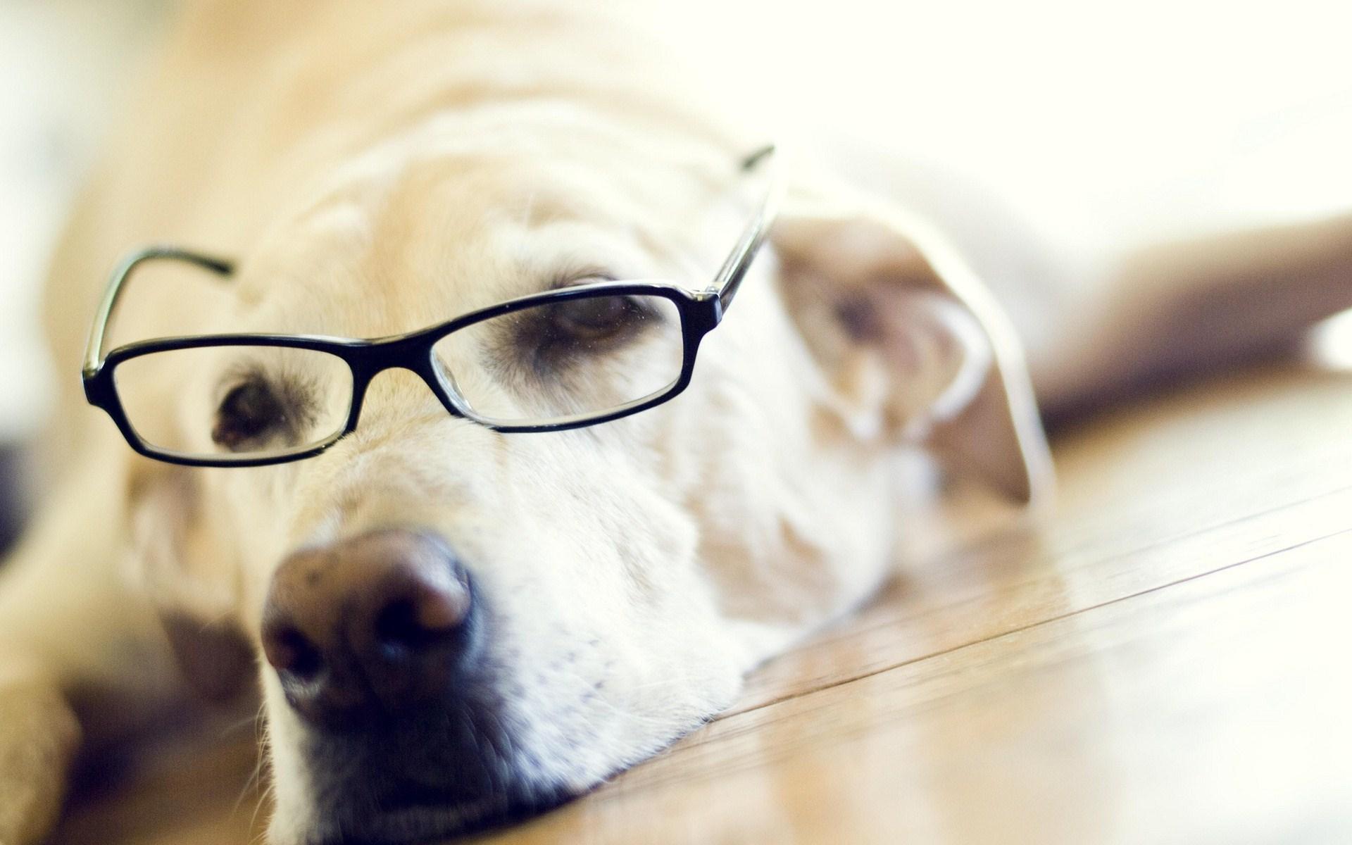 Labrador Retriever Dog Glasses Funny Photo