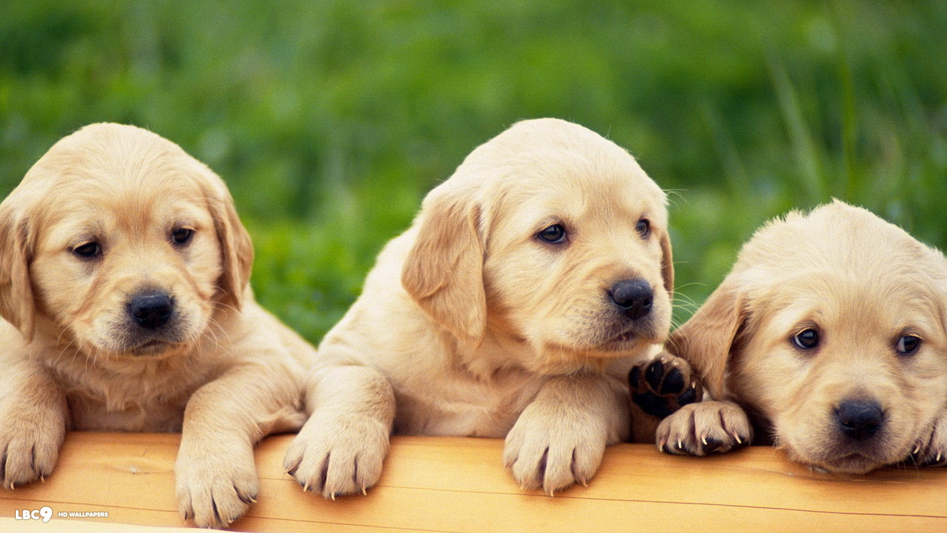 Please check our latest desktop Wallpapers below and bring beauty to your desktop. Labrador Wallpaper