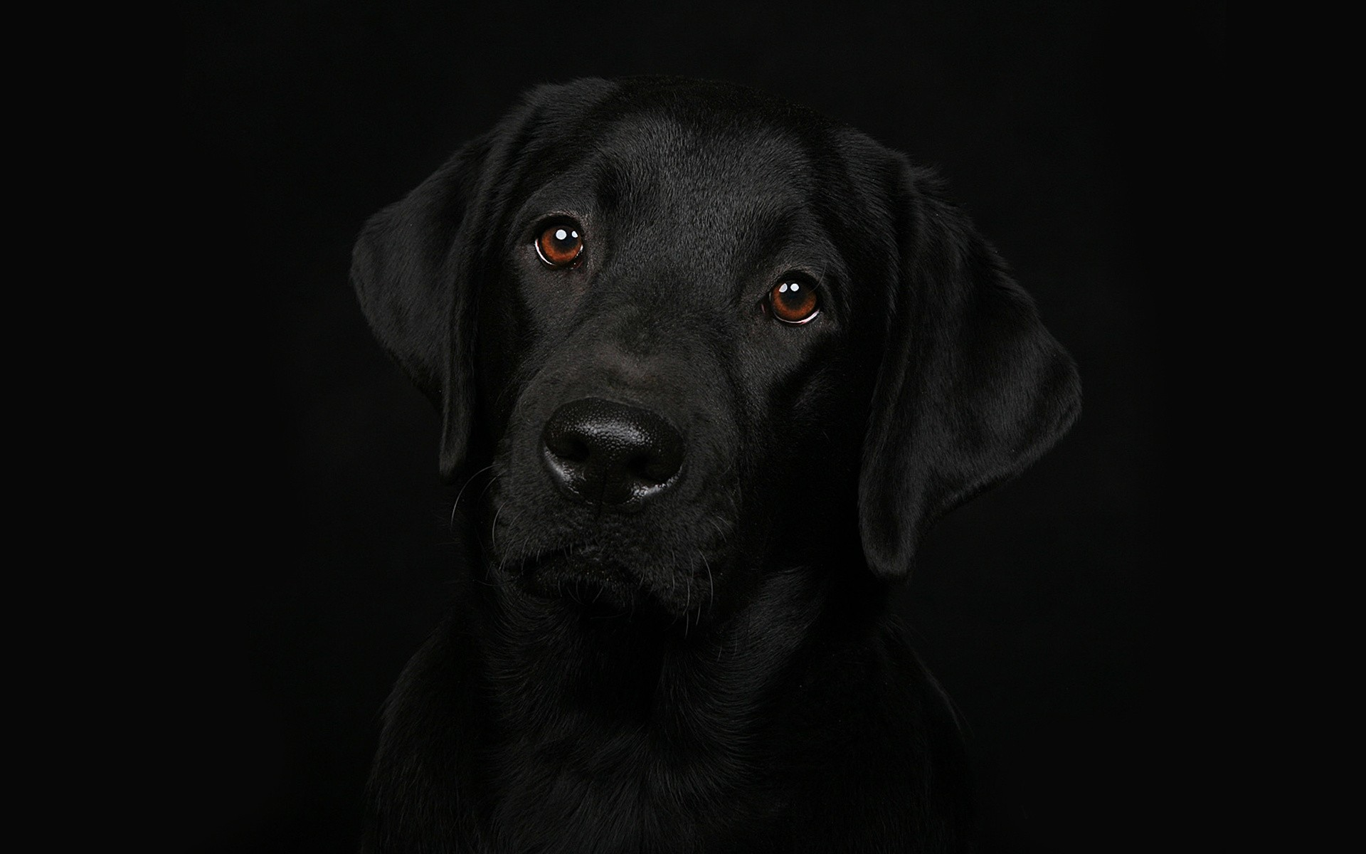 Labrador Wallpaper