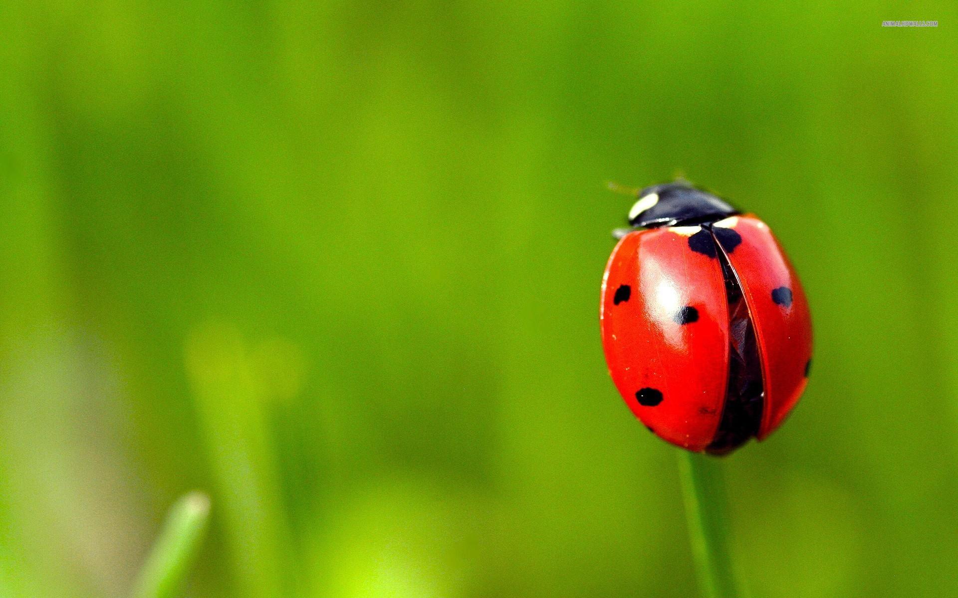 Ladybug Picture Wallpaper HD Desktop