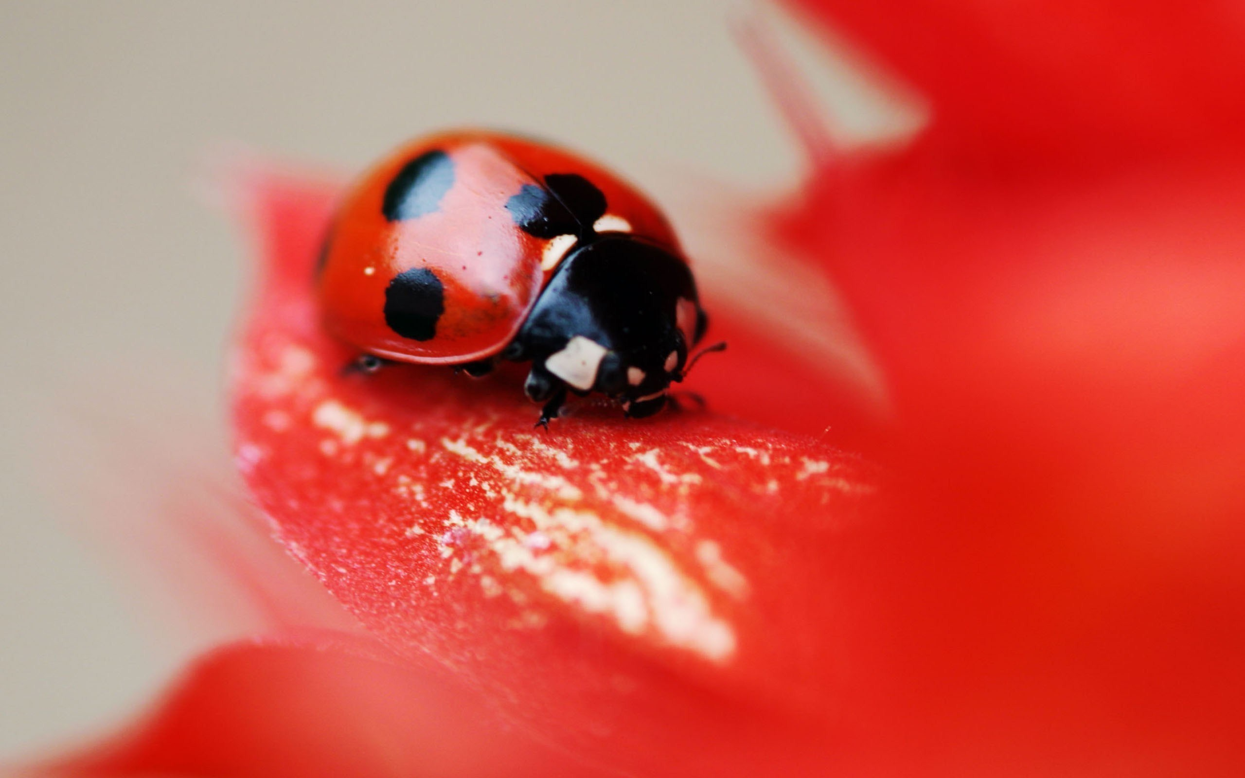 Ladybug Insect Flower Red Petals