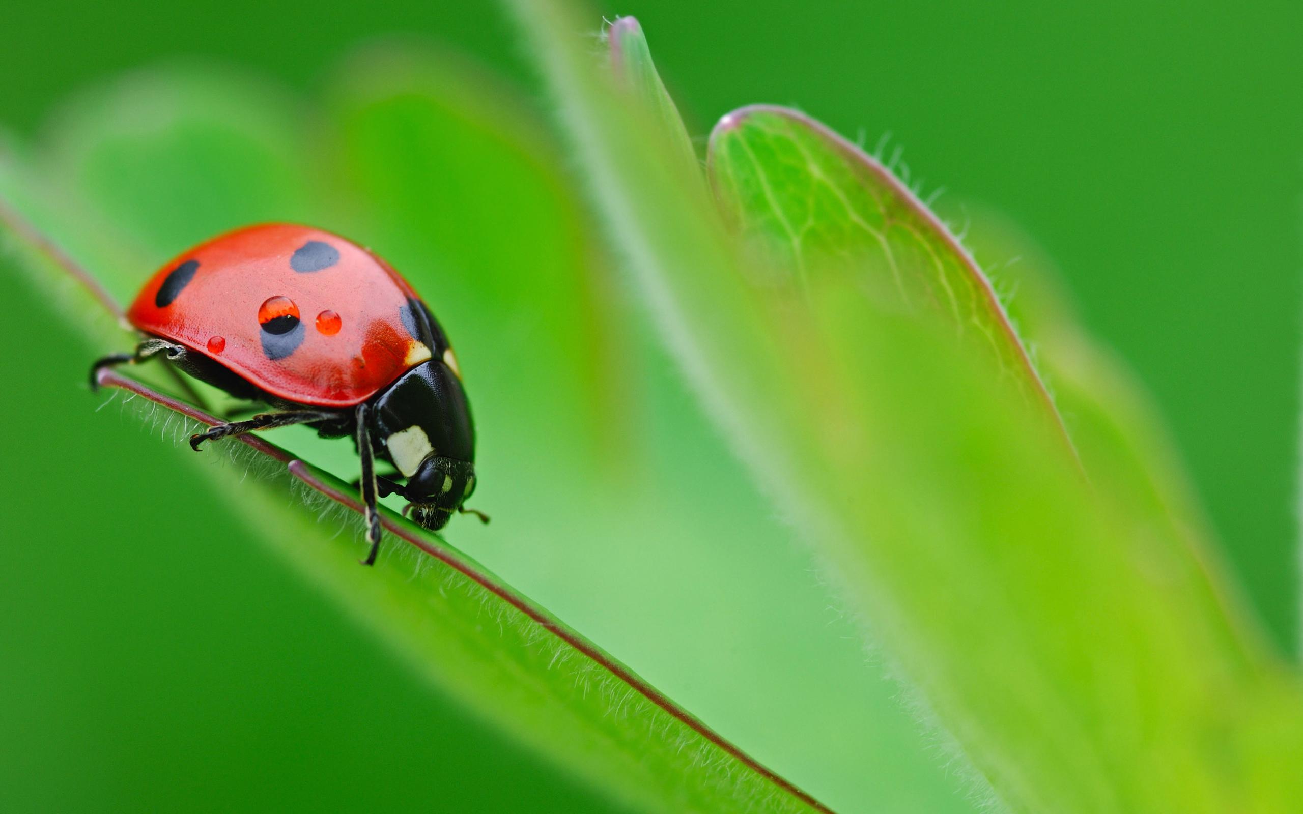 Ladybug Insect Wallpaper