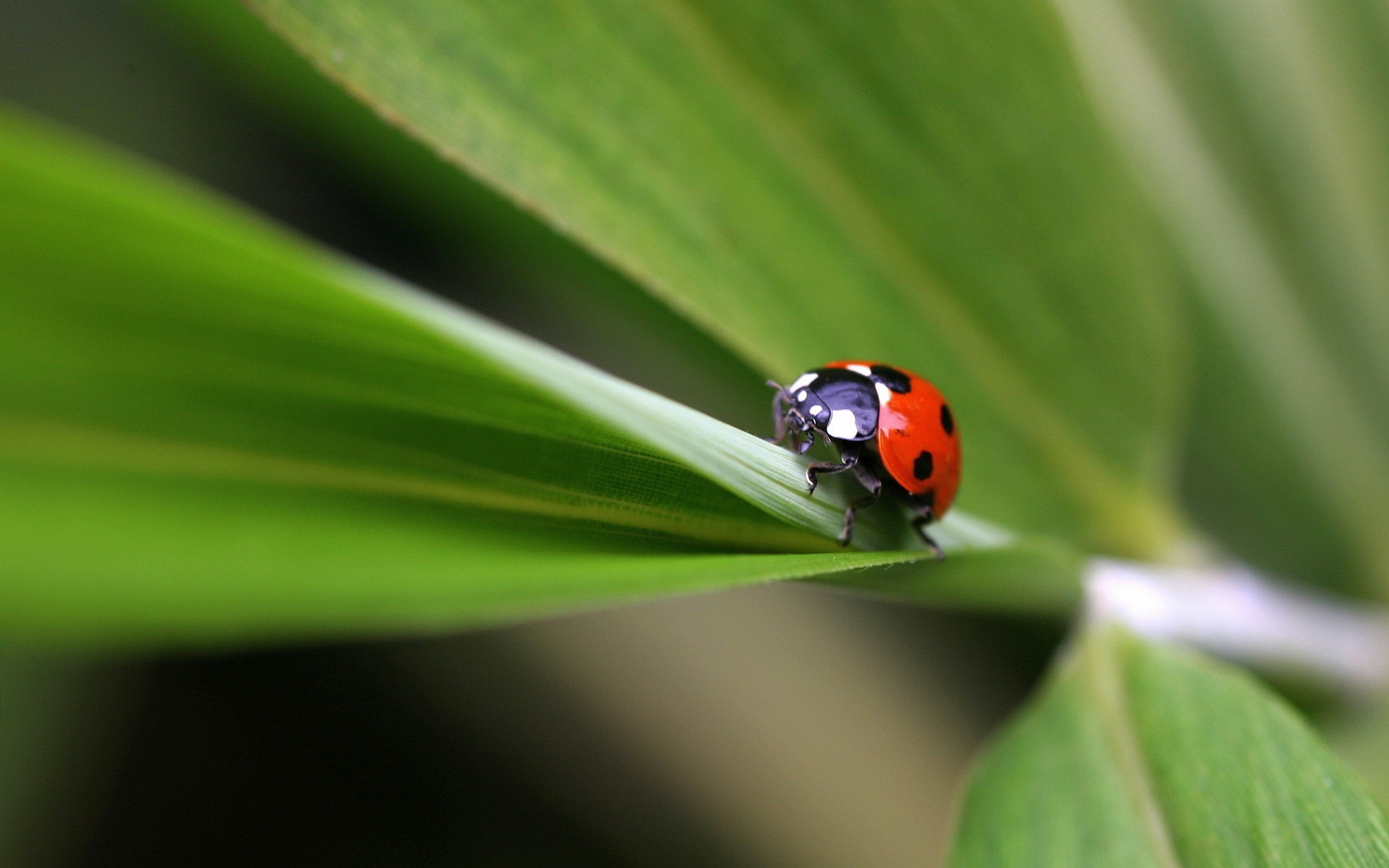 Ladybug on plant Wallpapers Pictures Photos Images. «