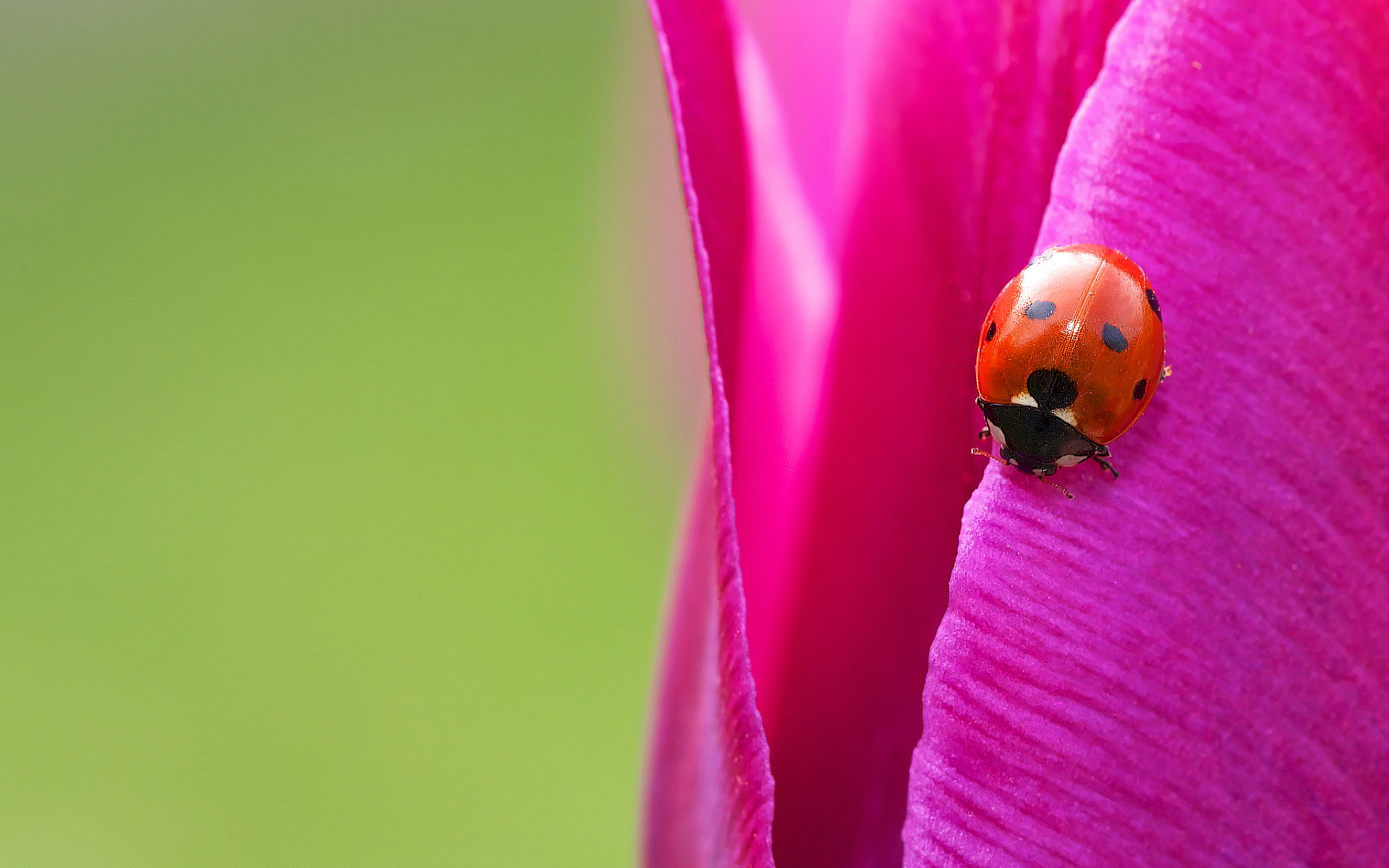 Ladybug pink petal